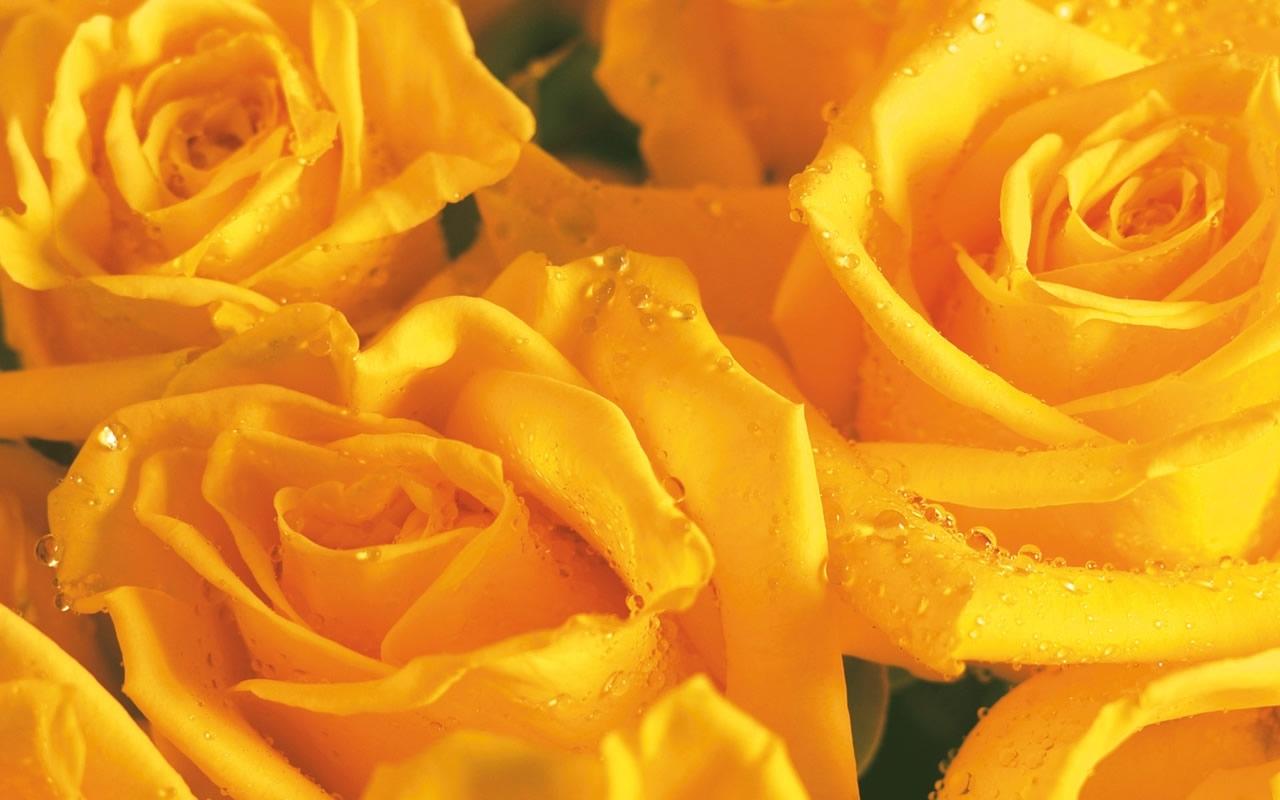 24596 télécharger le fond d'écran Plantes, Fleurs, Roses - économiseurs d'écran et images gratuitement