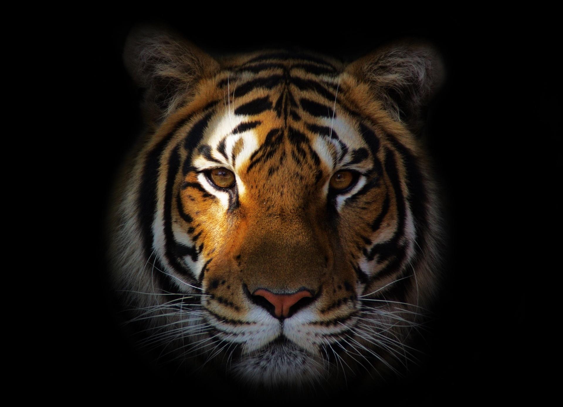 108363 скачать обои Животные, Хищник, Тигр, Тень, Морда - заставки и картинки бесплатно