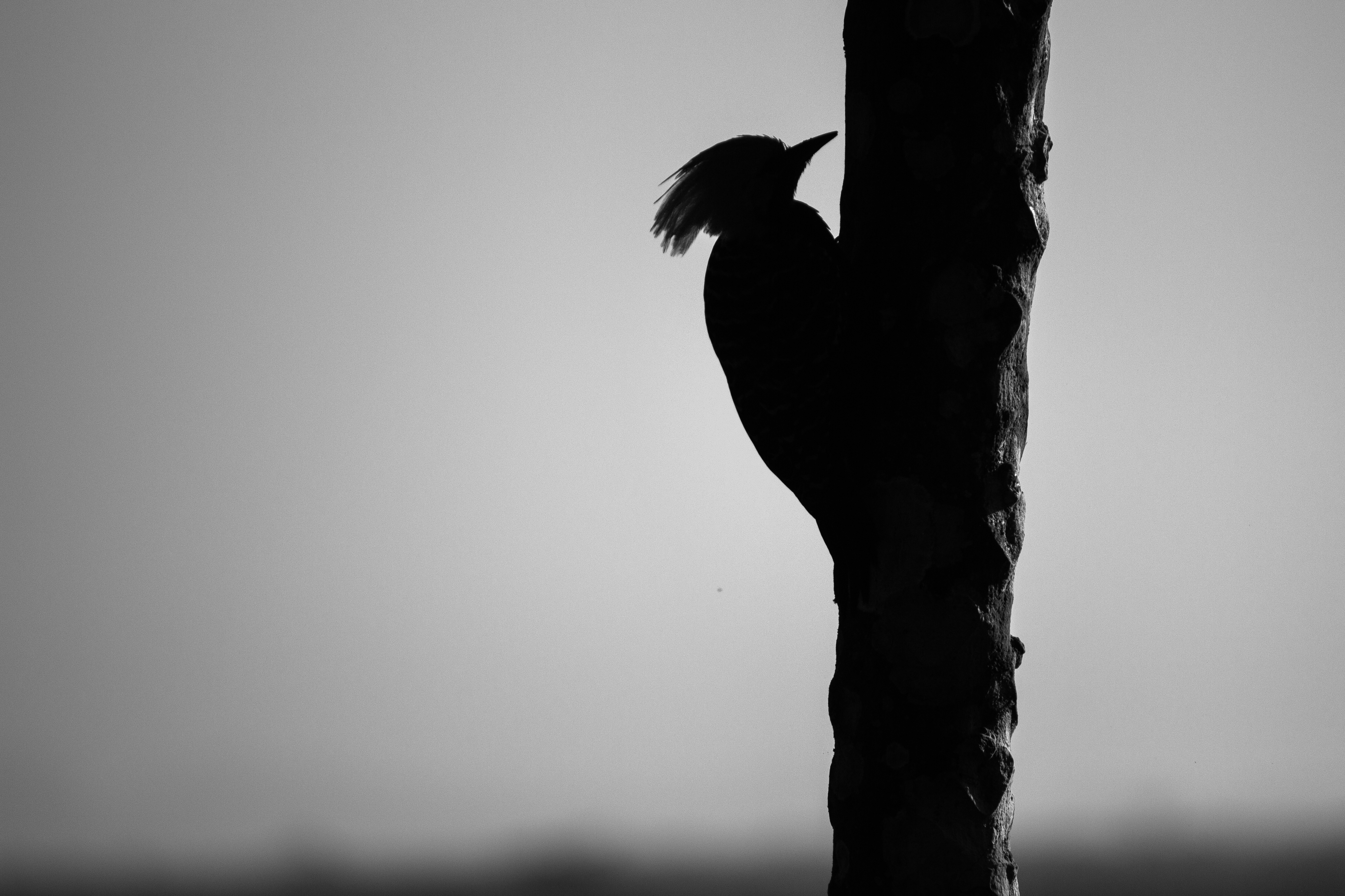 140289 download wallpaper Woodpecker, Bird, Bw, Chb, Silhouette screensavers and pictures for free