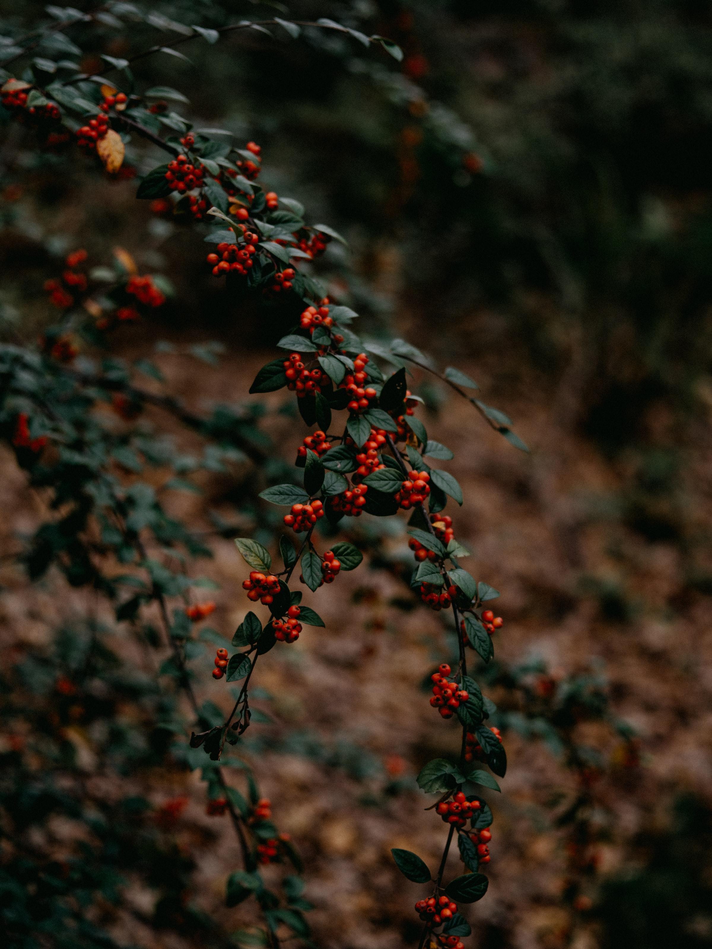 140014 обои 720x1520 на телефон бесплатно, скачать картинки Природа, Ягоды, Растение, Красный, Ветки 720x1520 на мобильный