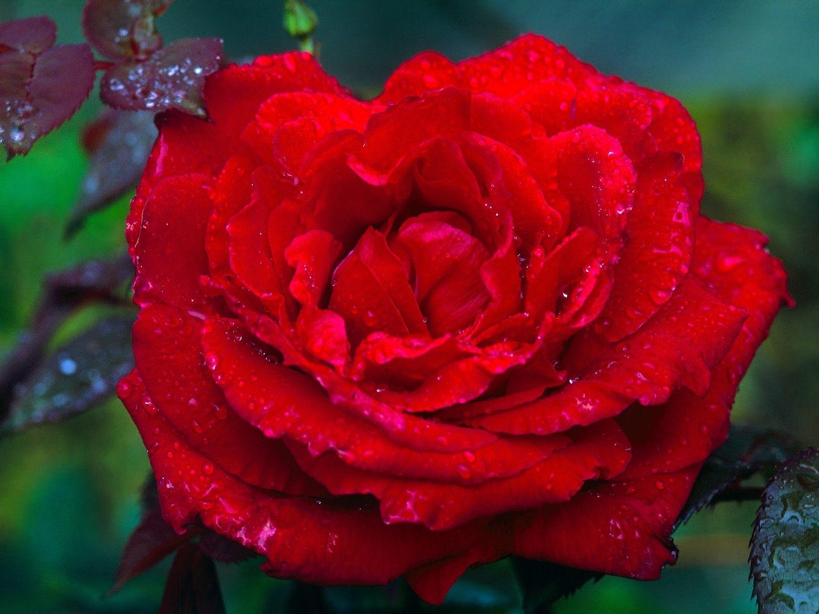 514 скачать обои Растения, Цветы, Розы - заставки и картинки бесплатно