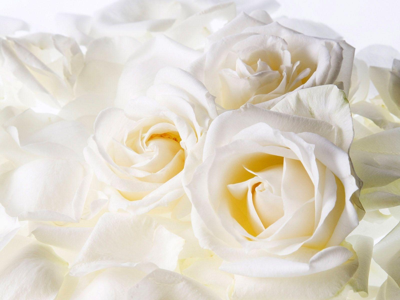 5093 скачать обои Растения, Цветы, Розы - заставки и картинки бесплатно