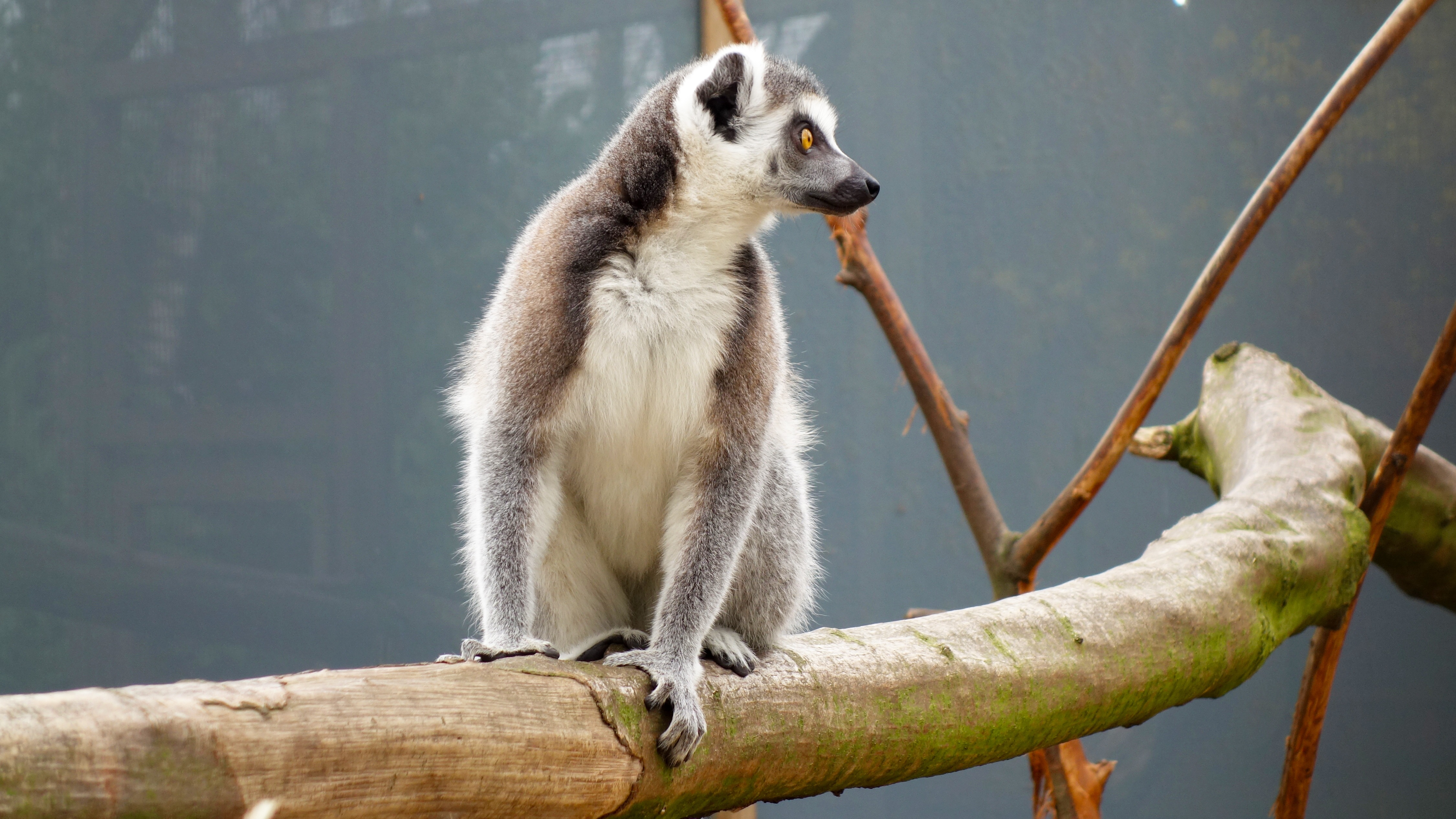 112049 download wallpaper Animals, Lemur, Reserve, Is Sitting, Sits screensavers and pictures for free