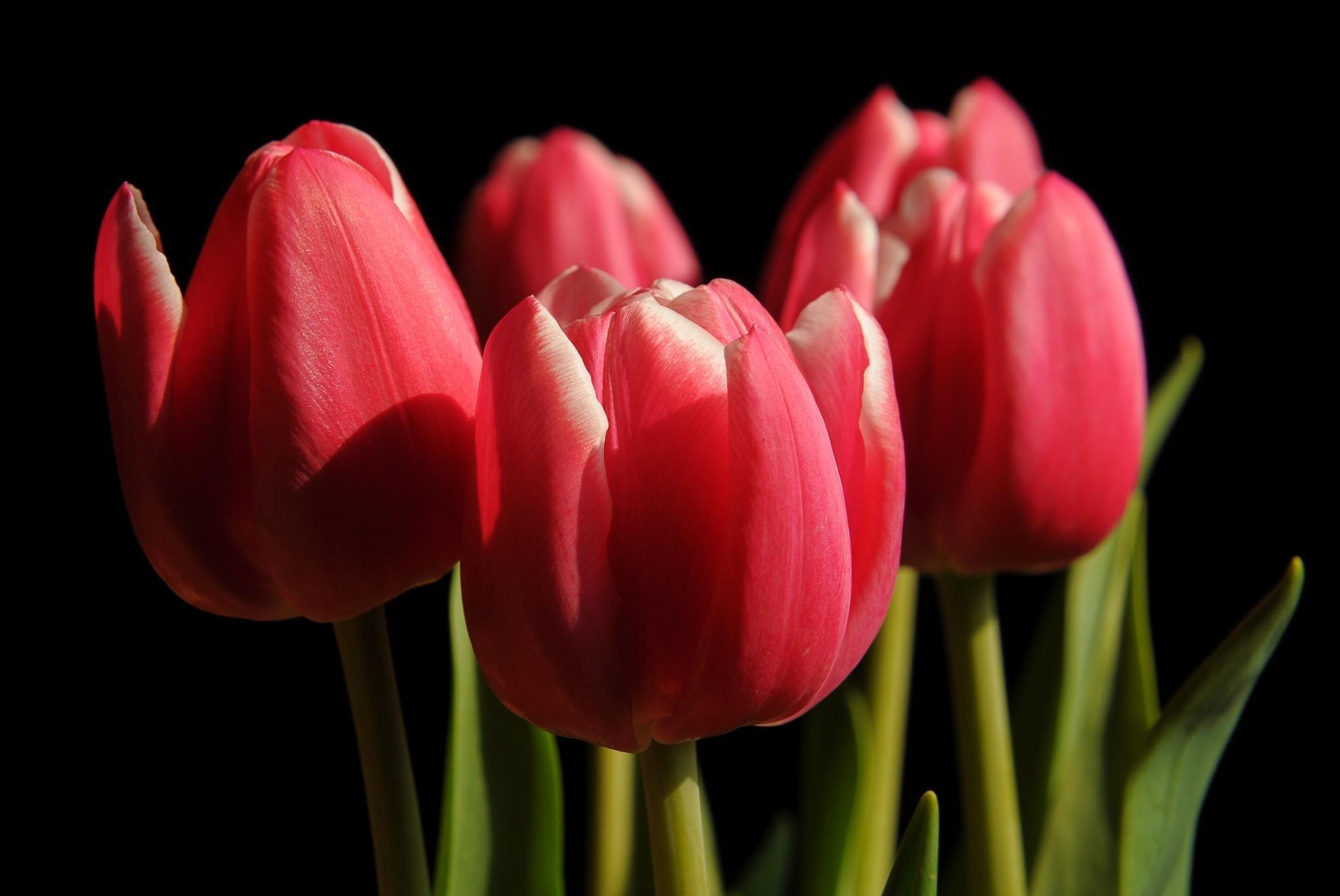 94458 скачать обои Цветы, Бутоны, Весна, Крупный План, Черный Фон, Тюльпаны - заставки и картинки бесплатно