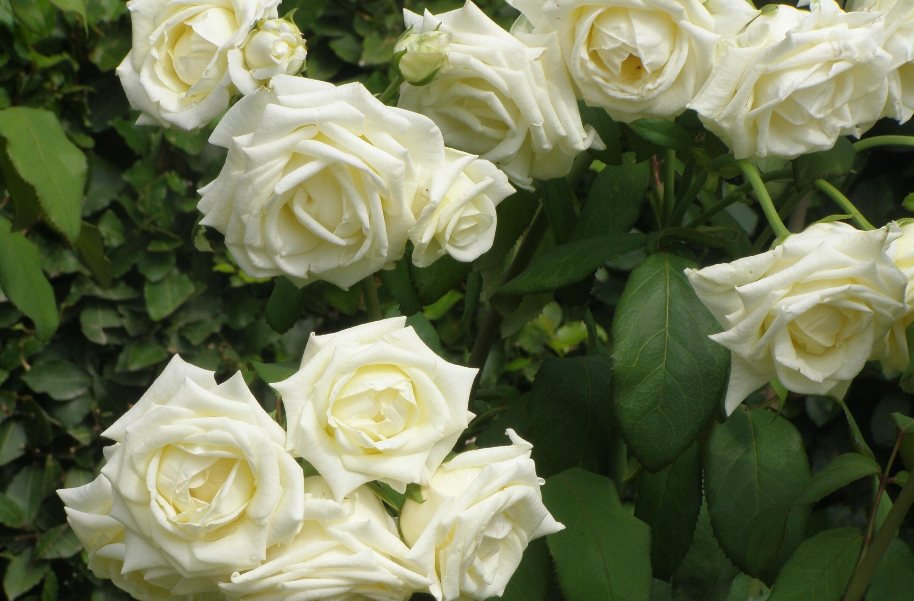 110340 download wallpaper Flowers, Roses, Summer, Bush, Greens, Garden screensavers and pictures for free