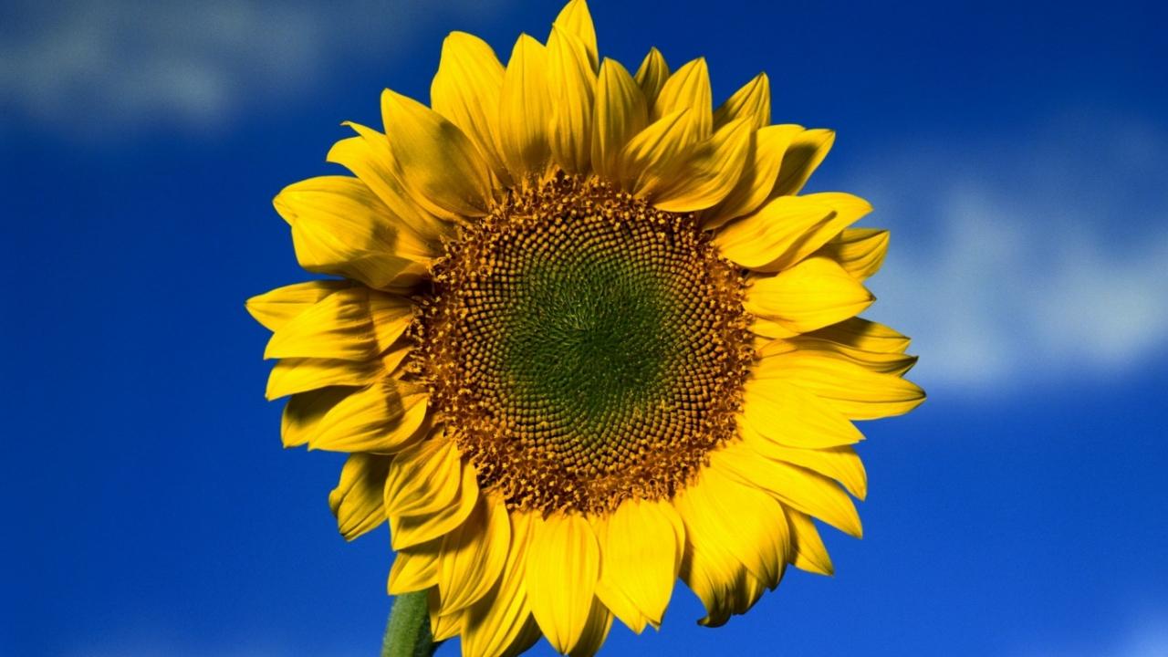 免费下载向日葵, 花卉, 植物手机壁纸。