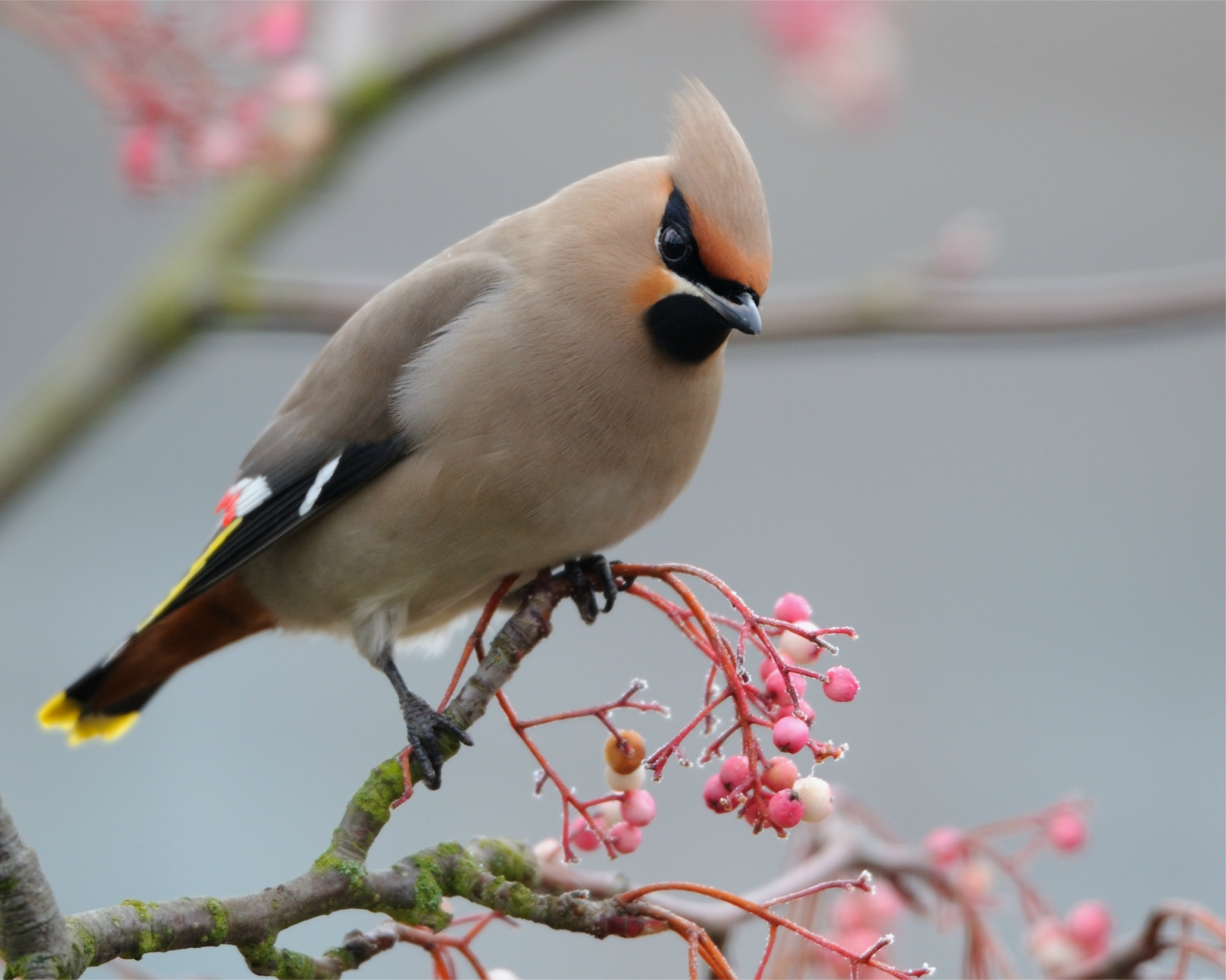 128070 Screensavers and Wallpapers Bird for phone. Download Bird, Animals, Branch, Color, Crest, Pappus, Waxwing pictures for free