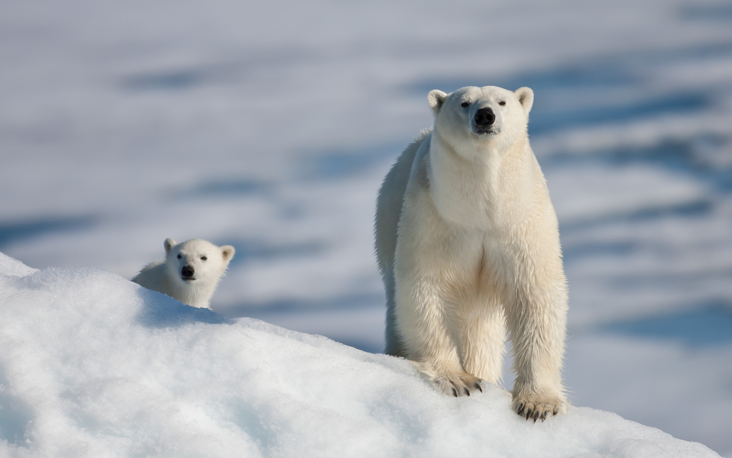 14849 download wallpaper Animals, Winter, Bears screensavers and pictures for free