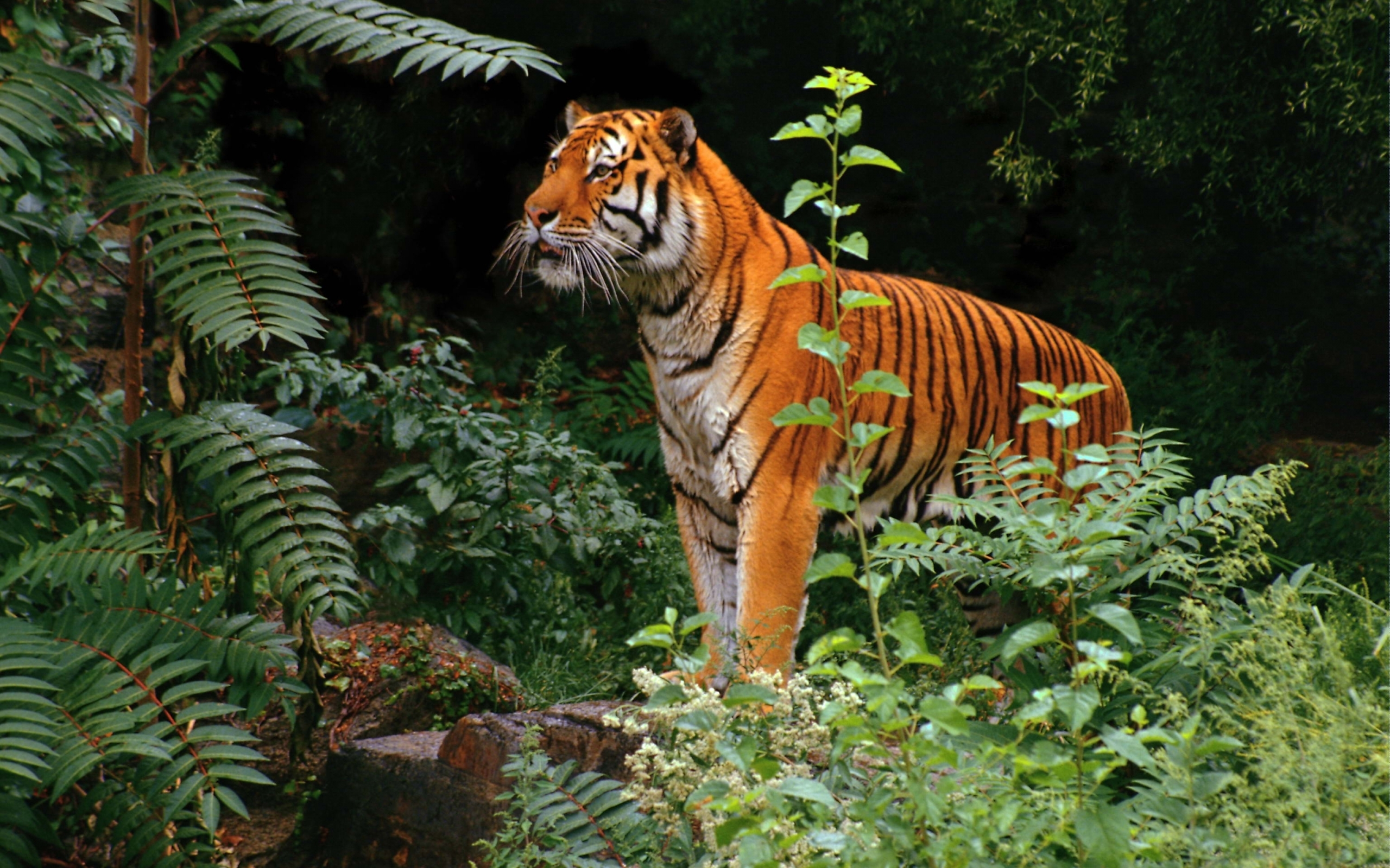 49657 descargar fondo de pantalla Animales, Tigres: protectores de pantalla e imágenes gratis