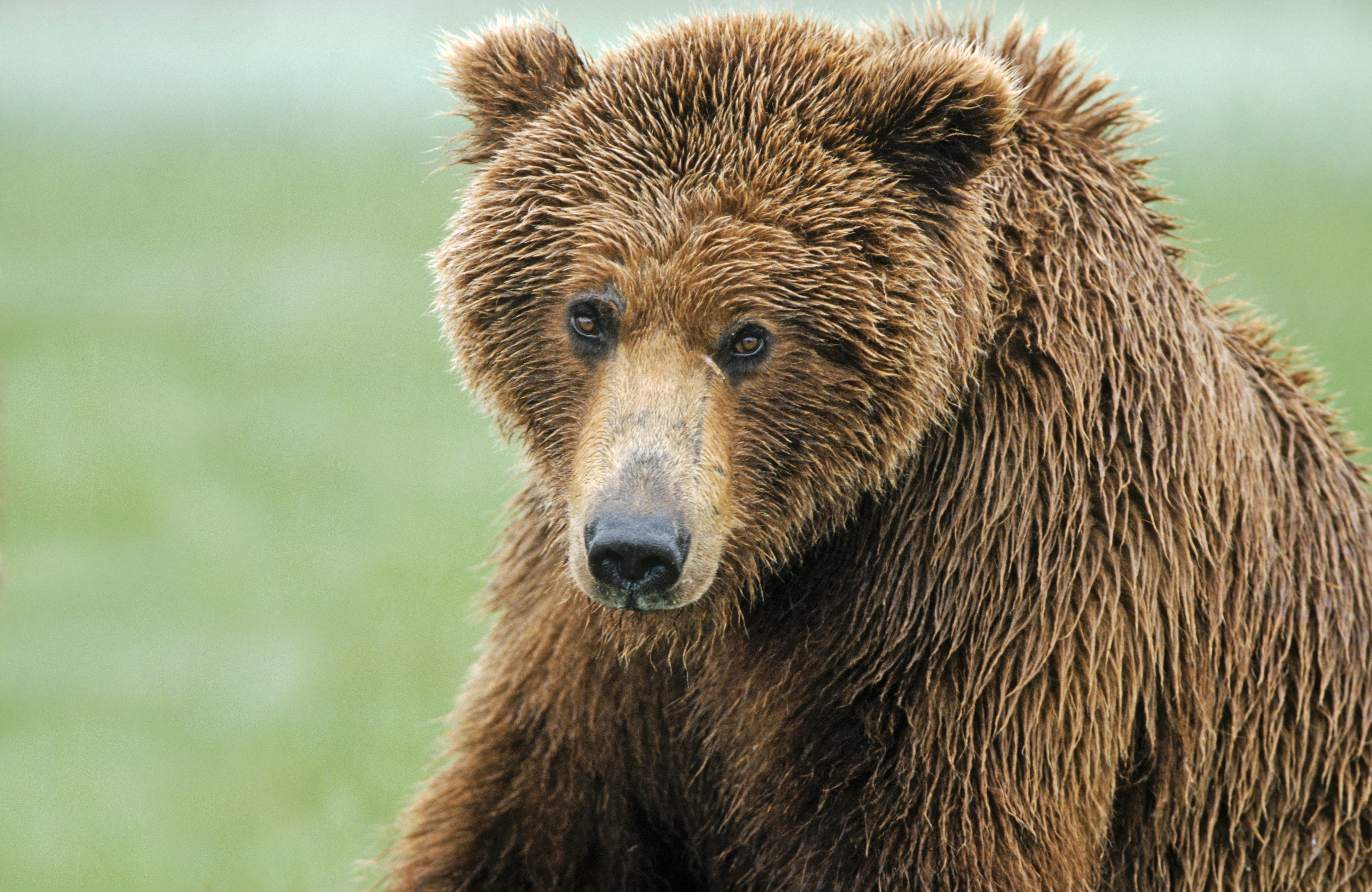 145568 Screensavers and Wallpapers Nose for phone. Download Animals, Wet, Nose, Wool, Brown Bear pictures for free