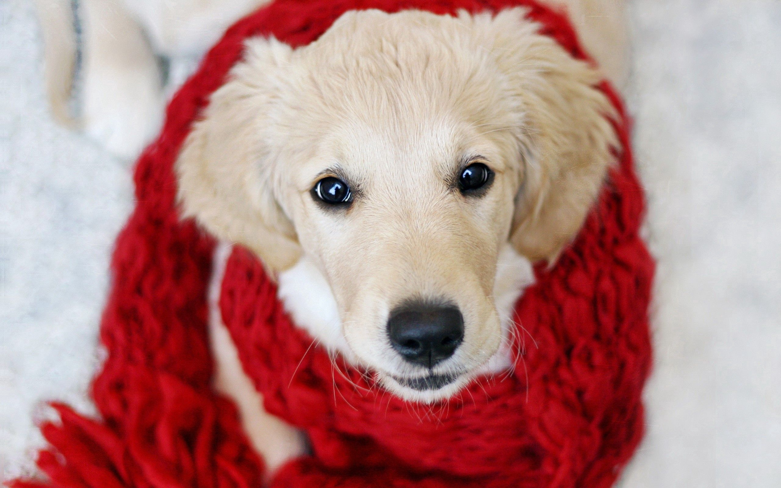 150881 Screensavers and Wallpapers Scarf for phone. Download Animals, Dog, Muzzle, Beautiful, Cloth, Puppy, Scarf pictures for free