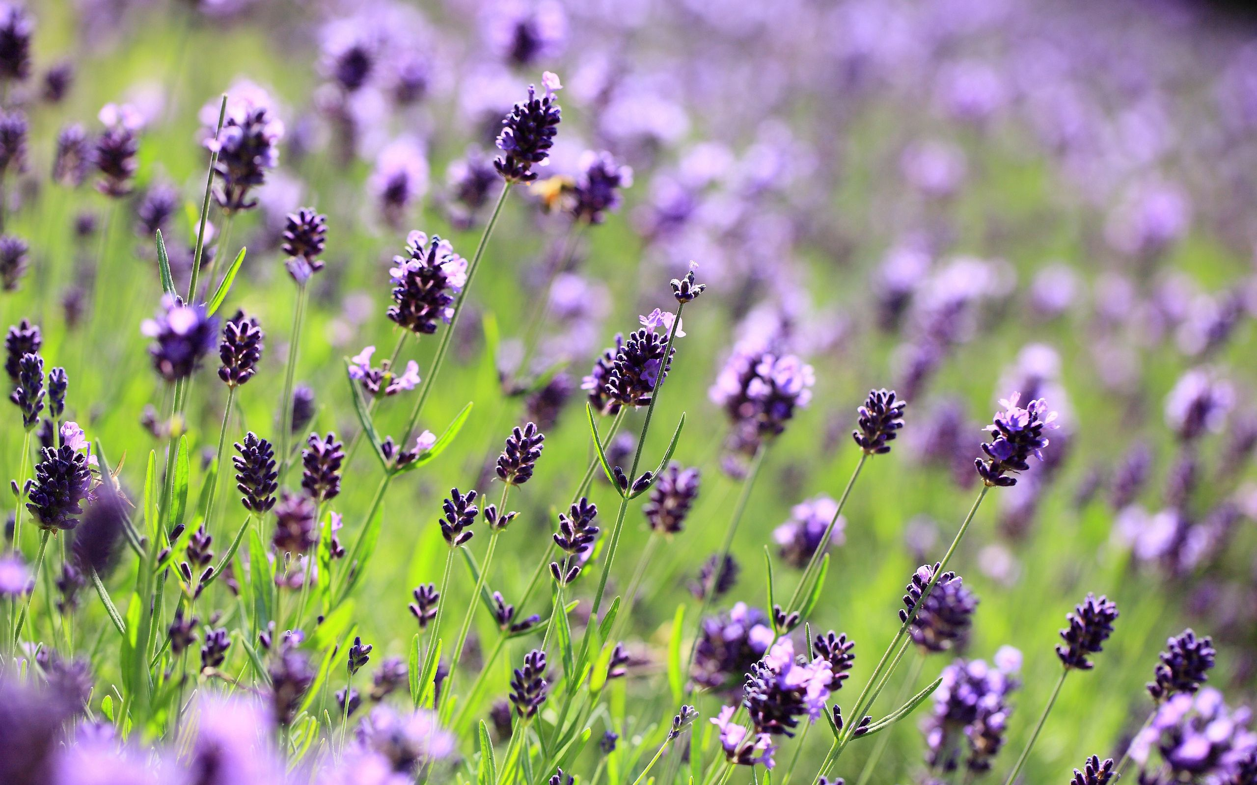 146377 Screensavers and Wallpapers Purple for phone. Download Flowers, Lilac, Violet, Macro, Purple, Lavender pictures for free