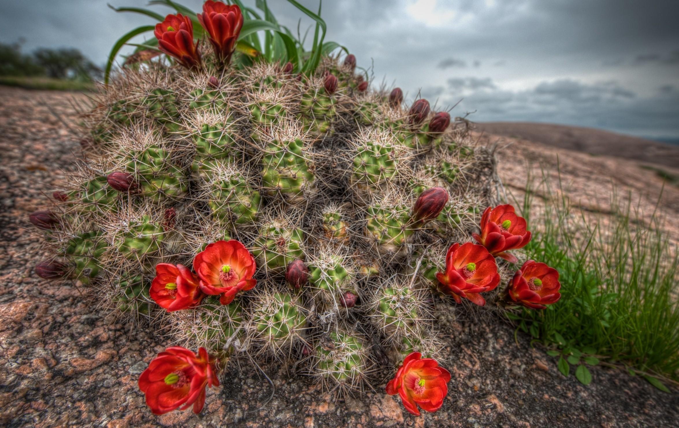 146084 descargar fondo de pantalla Flores, Cactus, Cacto, Florecer, Floración, Aguja, Cielo, Hierba: protectores de pantalla e imágenes gratis