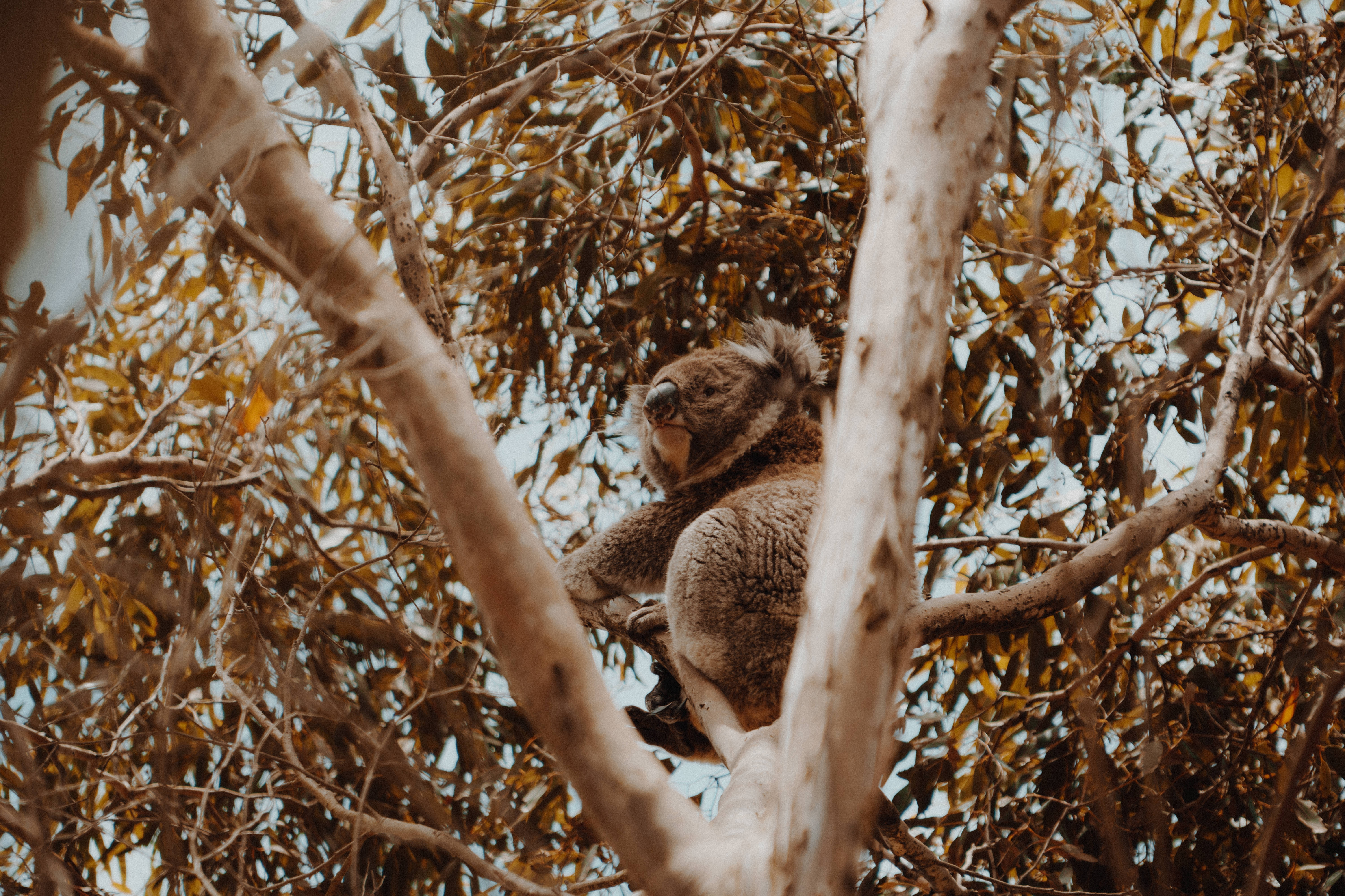 105274 download wallpaper Animals, Koala, Wood, Tree, Animal, Exotic, Wildlife screensavers and pictures for free