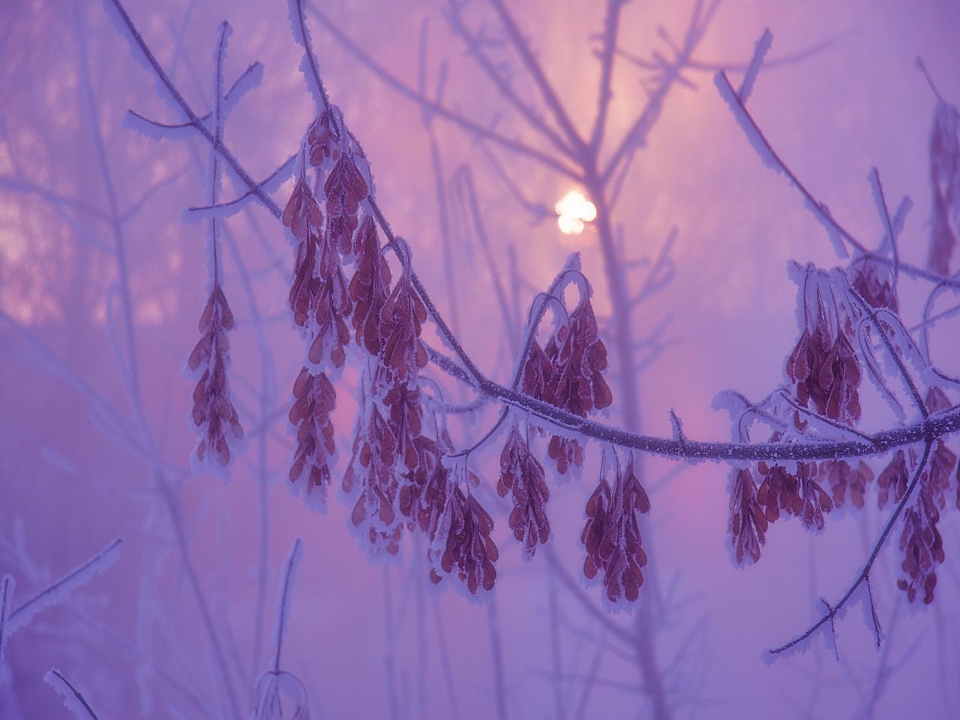 33870 скачать Фиолетовые обои на телефон бесплатно, Растения, Зима, Листья Фиолетовые картинки и заставки на мобильный