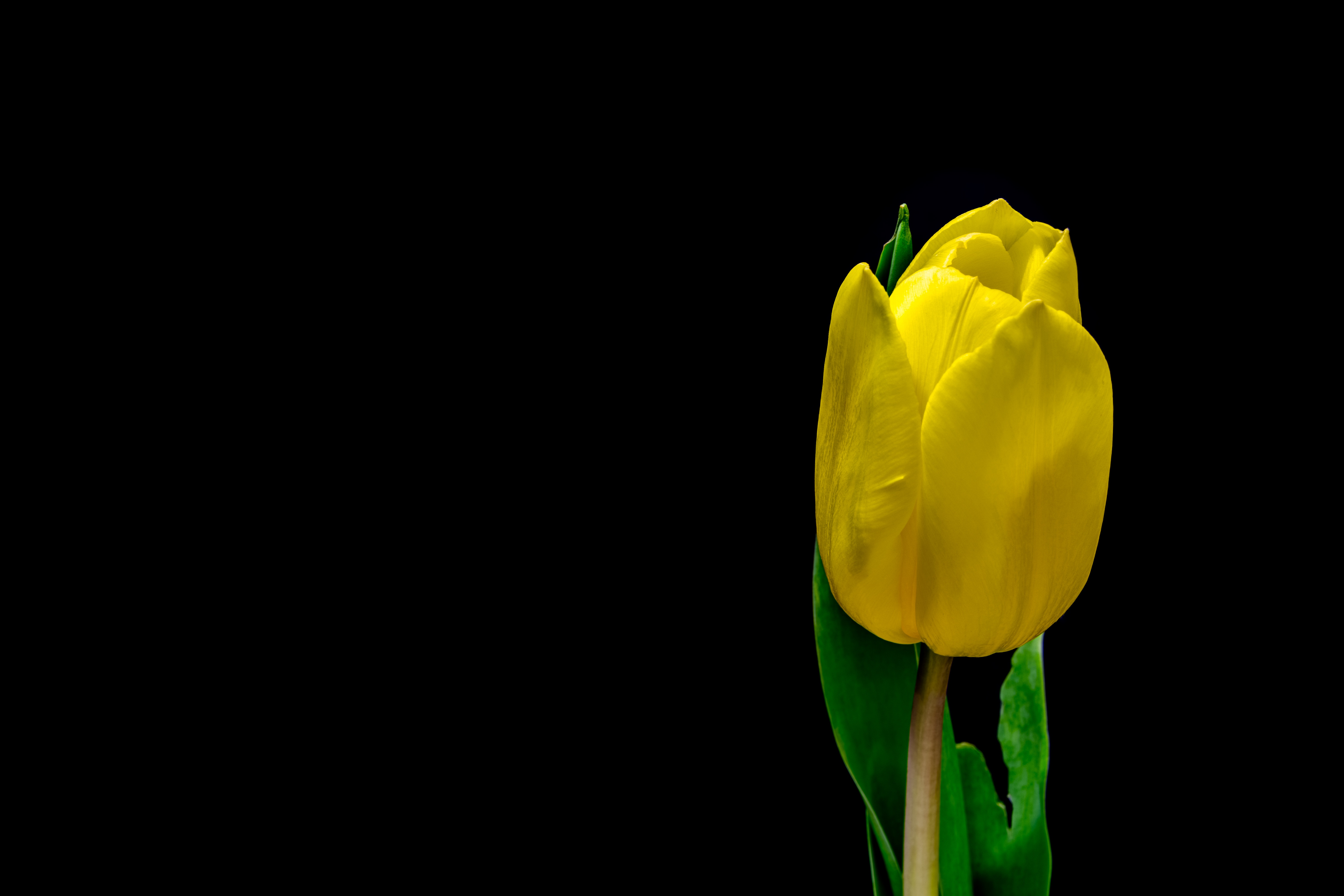 59186 Screensavers and Wallpapers Petals for phone. Download Flowers, Flower, Plant, Petals, Tulip pictures for free