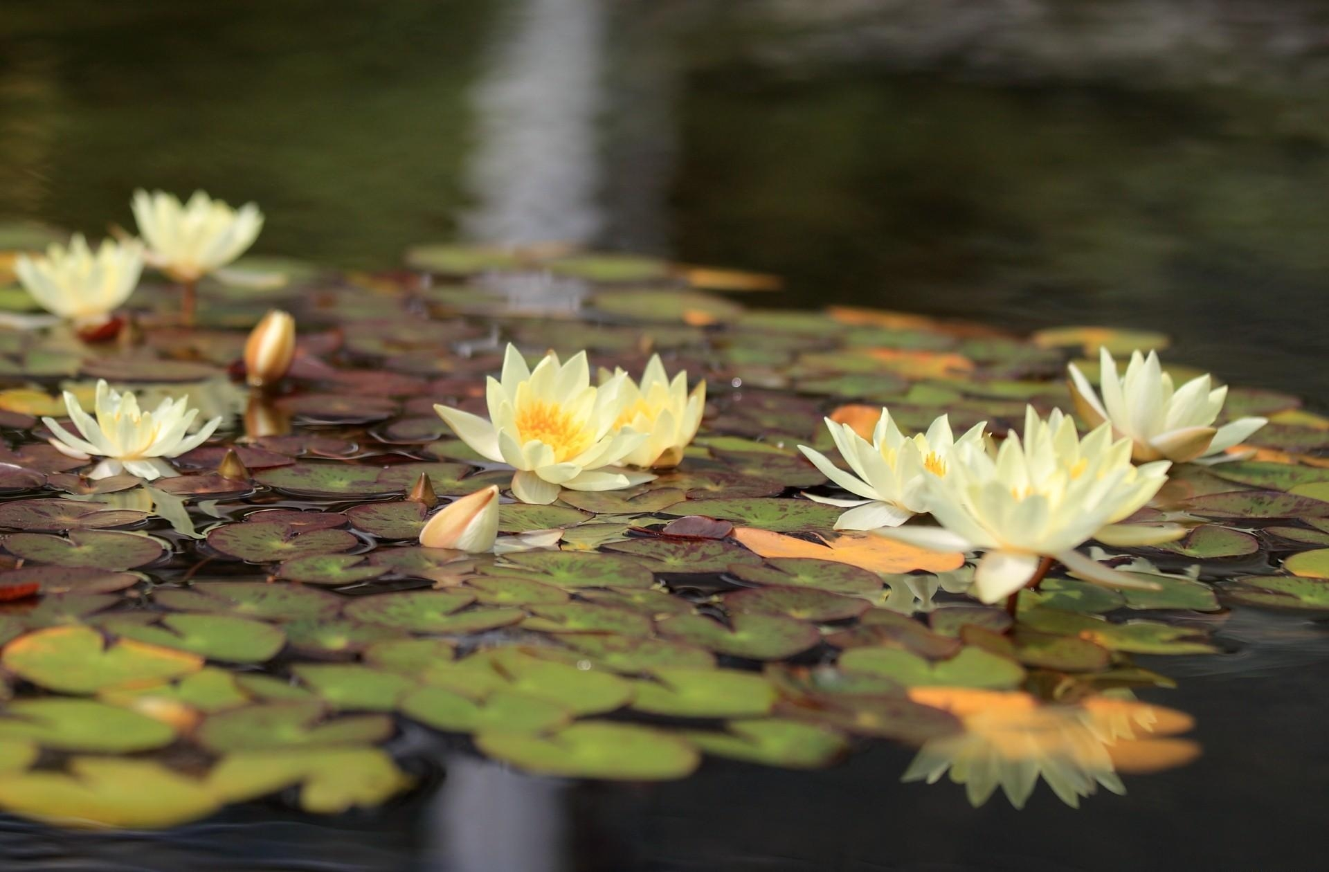 111077 download wallpaper Flowers, Water Lilies, Water, Leaves, Glare, Reflection screensavers and pictures for free