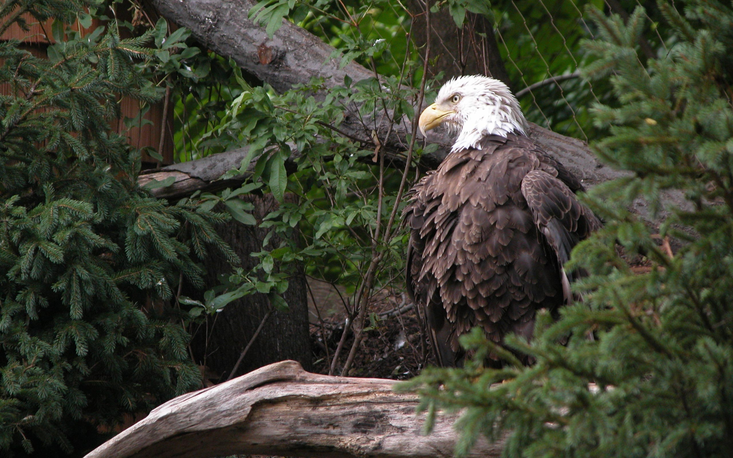 37165 download wallpaper Animals, Birds, Eagles screensavers and pictures for free