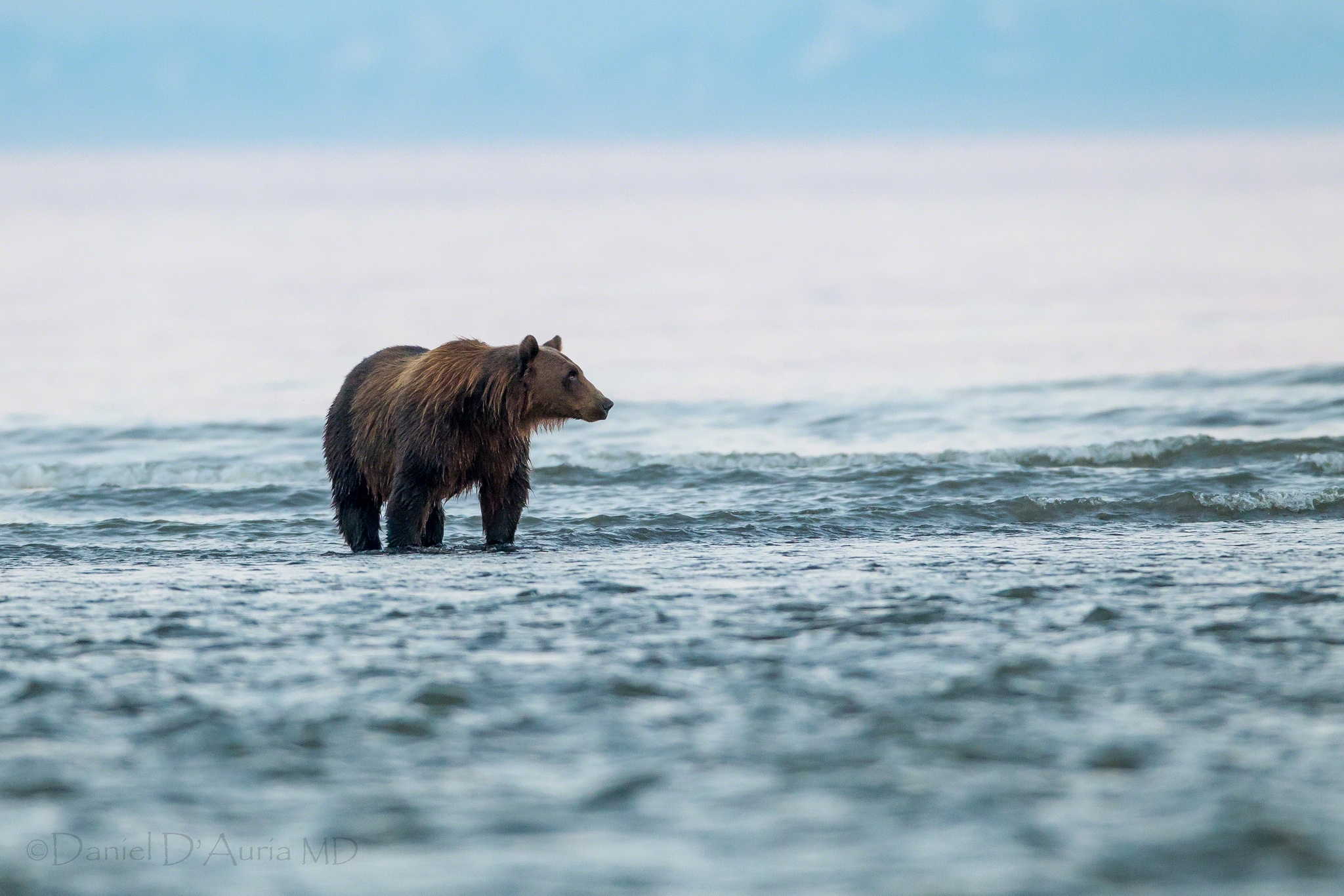 60548 Screensavers and Wallpapers Bear for phone. Download Animals, Sea, Bear, Stroll, Animal pictures for free
