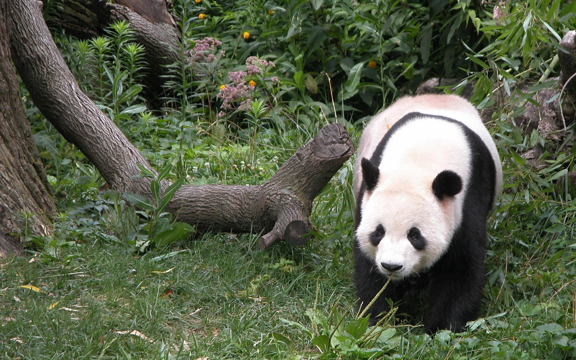 51963 download wallpaper Animals, Panda, Grass, Wood, Tree, Stroll screensavers and pictures for free