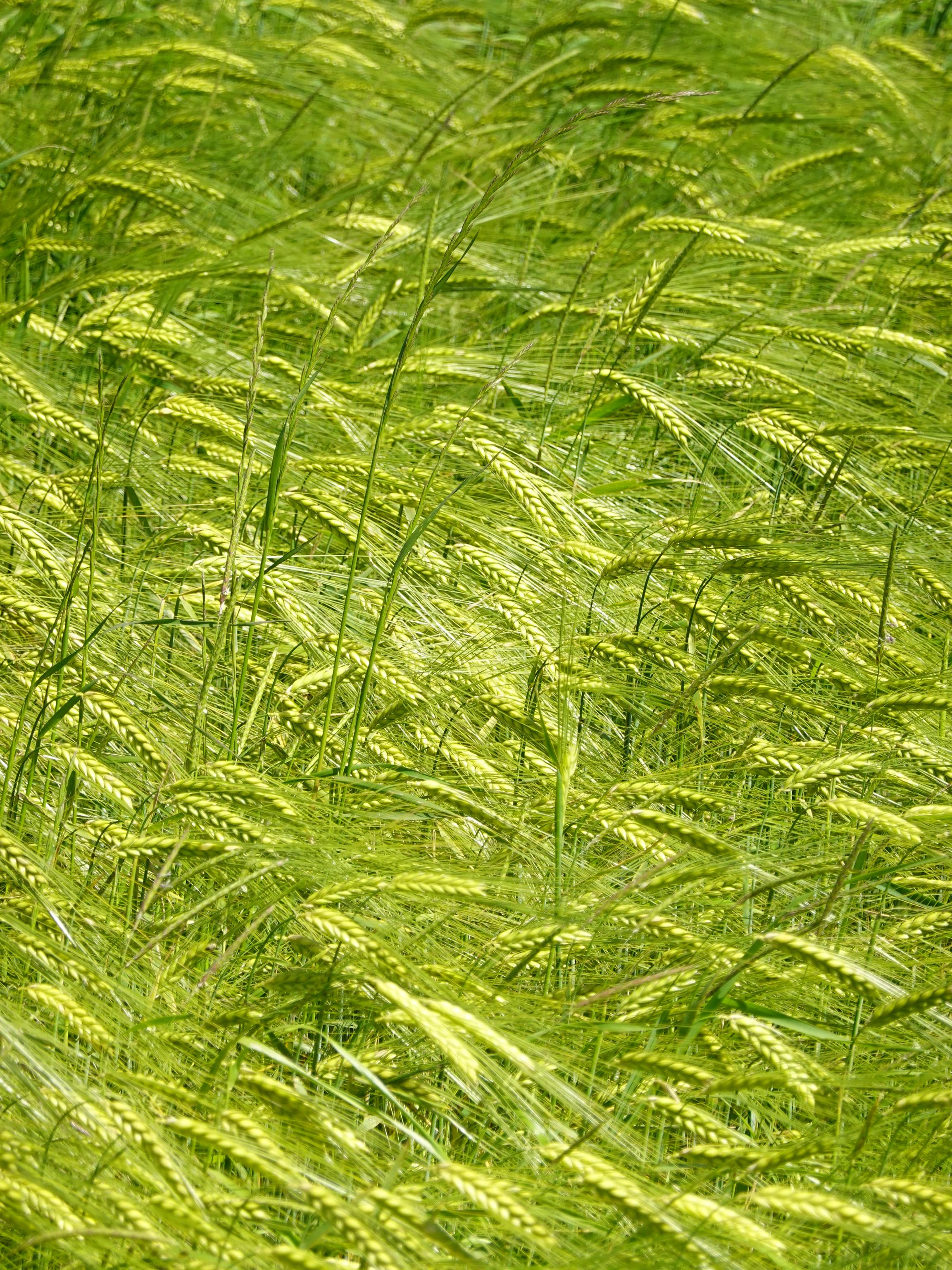 56077 скачать обои Природа, Колосья, Трава, Поле, Растения, Ветер - заставки и картинки бесплатно