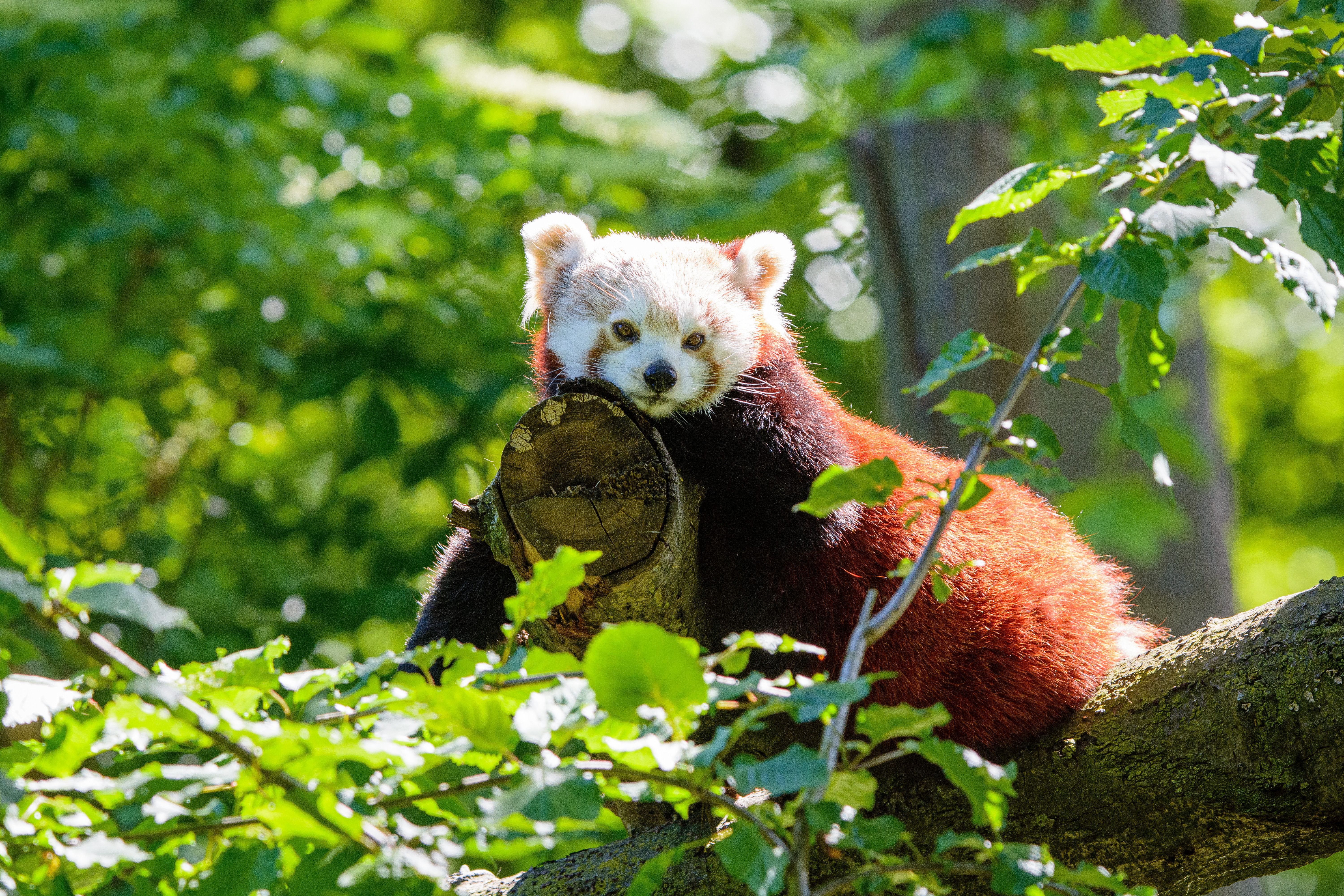 129189 download wallpaper Animals, Red Panda, Panda, Beast, Wood, Tree screensavers and pictures for free