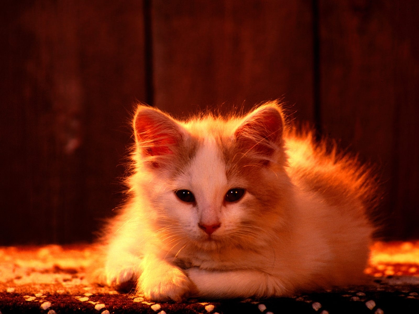 4923 download wallpaper Animals, Cats screensavers and pictures for free