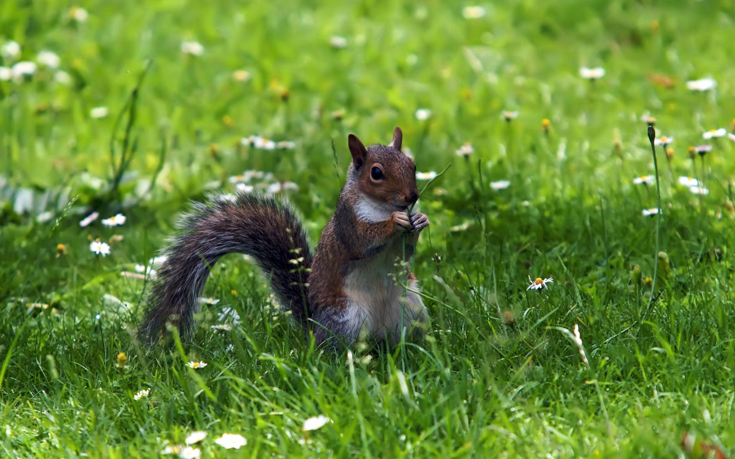 76974 download wallpaper Animals, Squirrel, Grass, Sit, Animal screensavers and pictures for free