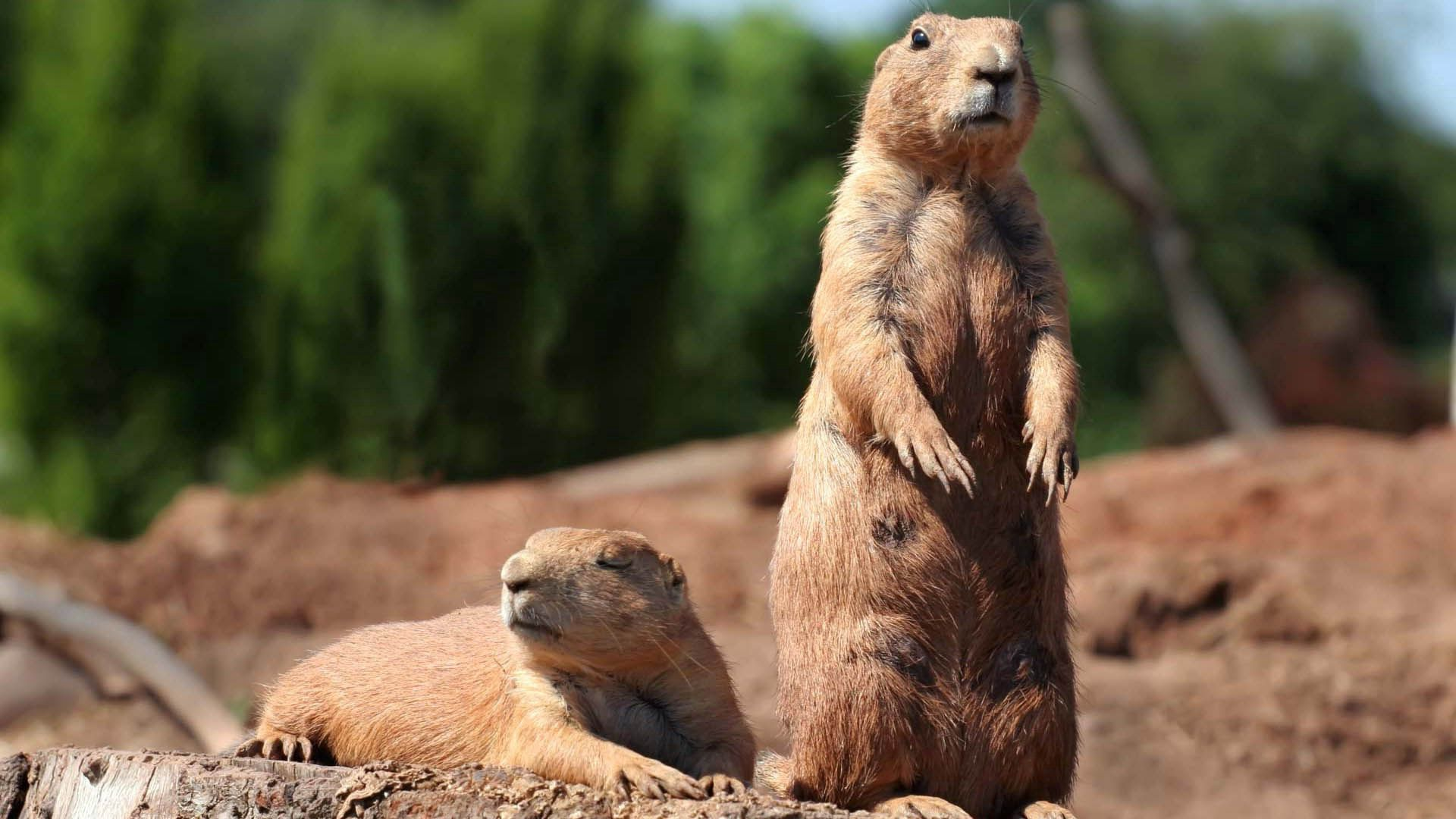 97290 download wallpaper Animals, Marmot, Forest, To Stand, Stand, Danger, Rodent screensavers and pictures for free