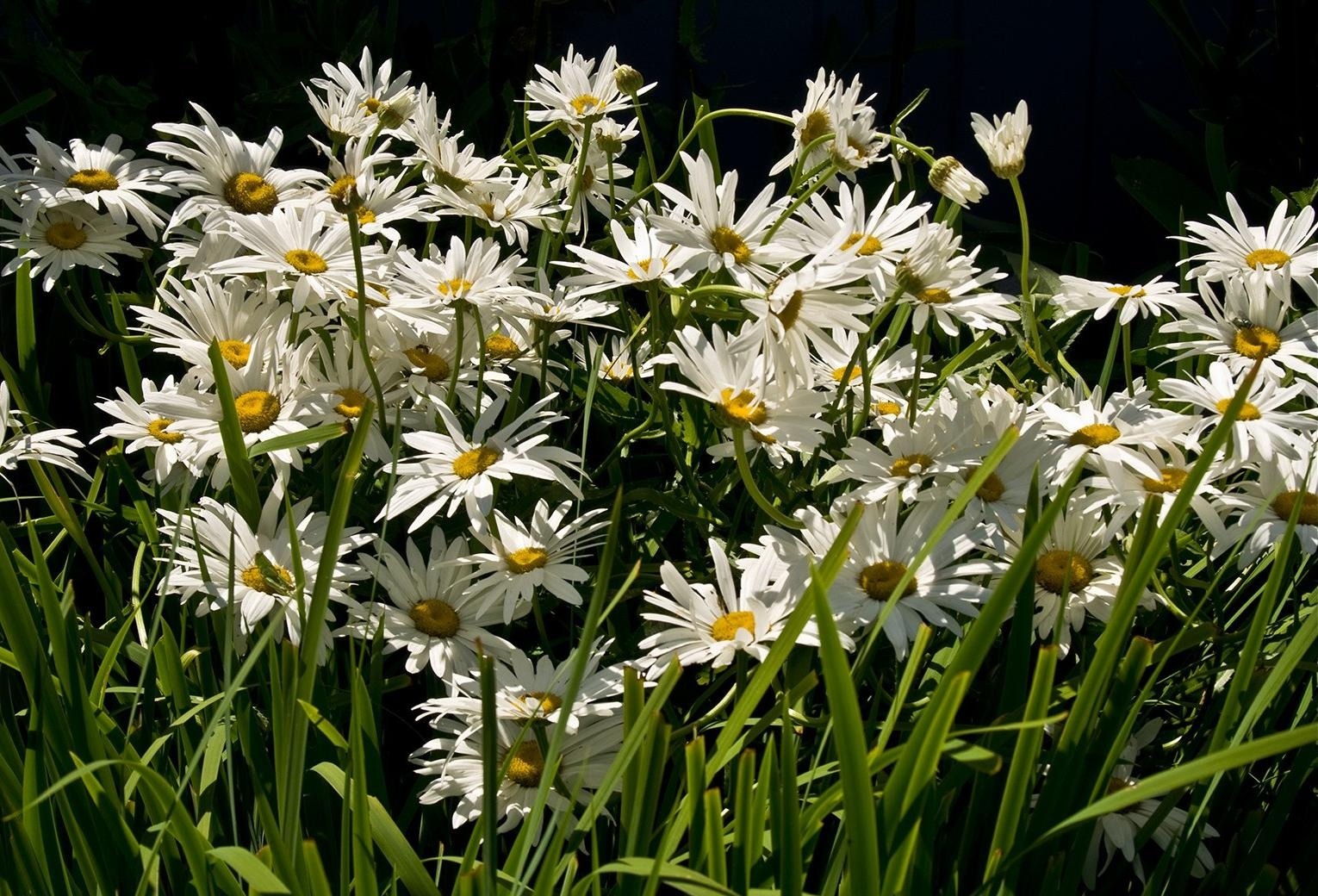 115768 download wallpaper Flowers, Camomile, Grass, Greens, Shine, Light screensavers and pictures for free