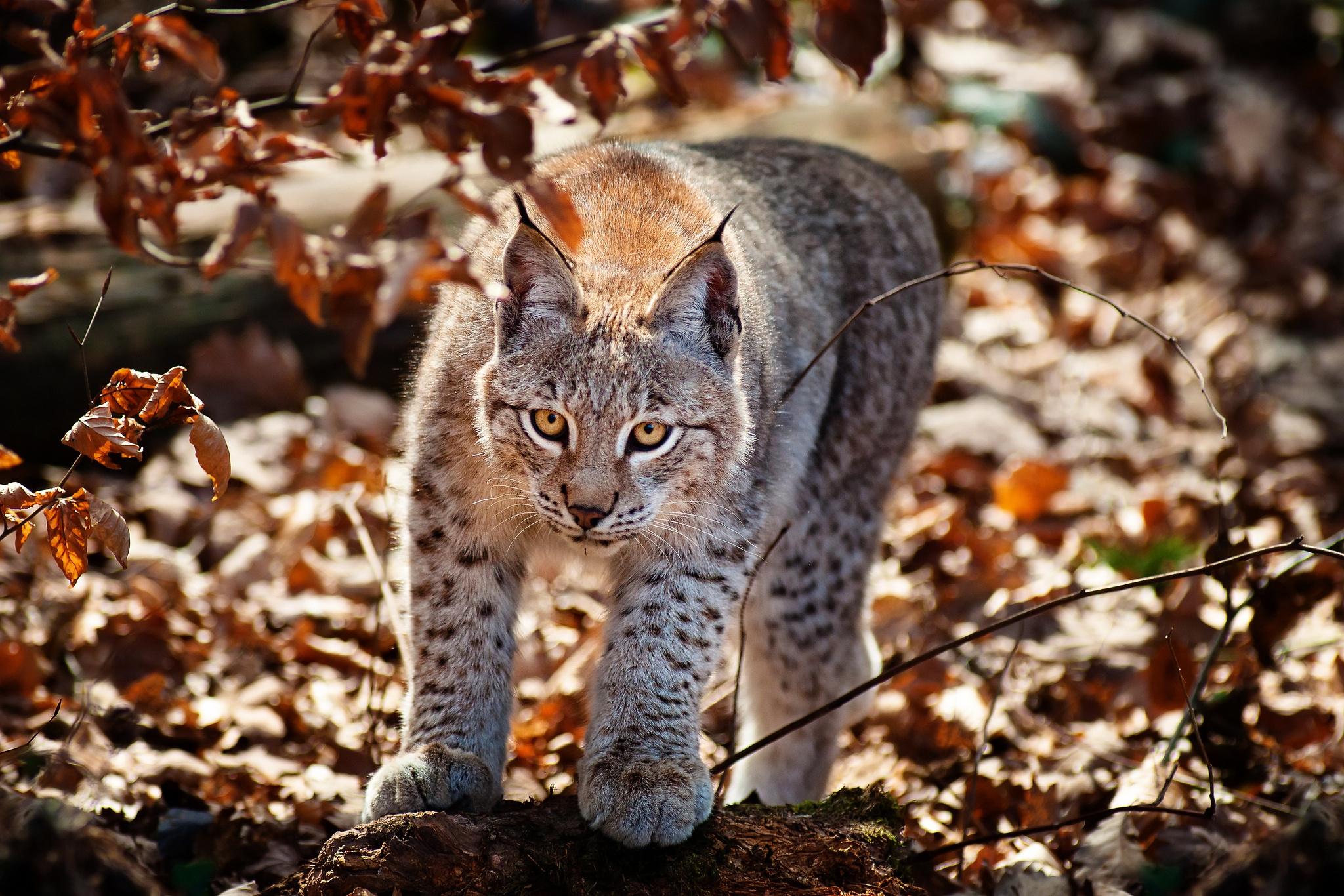 145669 скачать обои Животные, Кошка, Листва, Ирис, Осень - заставки и картинки бесплатно
