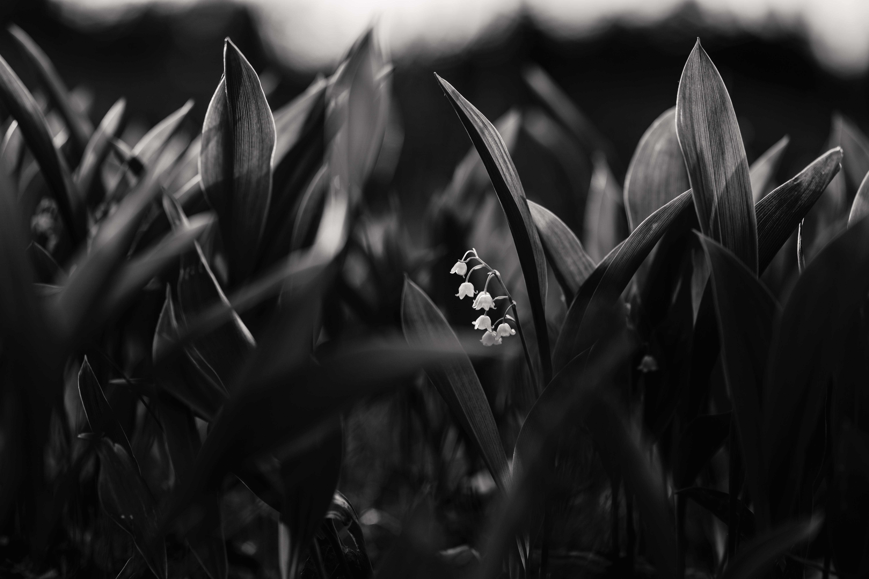 138206 Hintergrundbild herunterladen Blumen, Maiglöckchen, Pflanze, Blühen, Blühenden, Bw, Chb - Bildschirmschoner und Bilder kostenlos