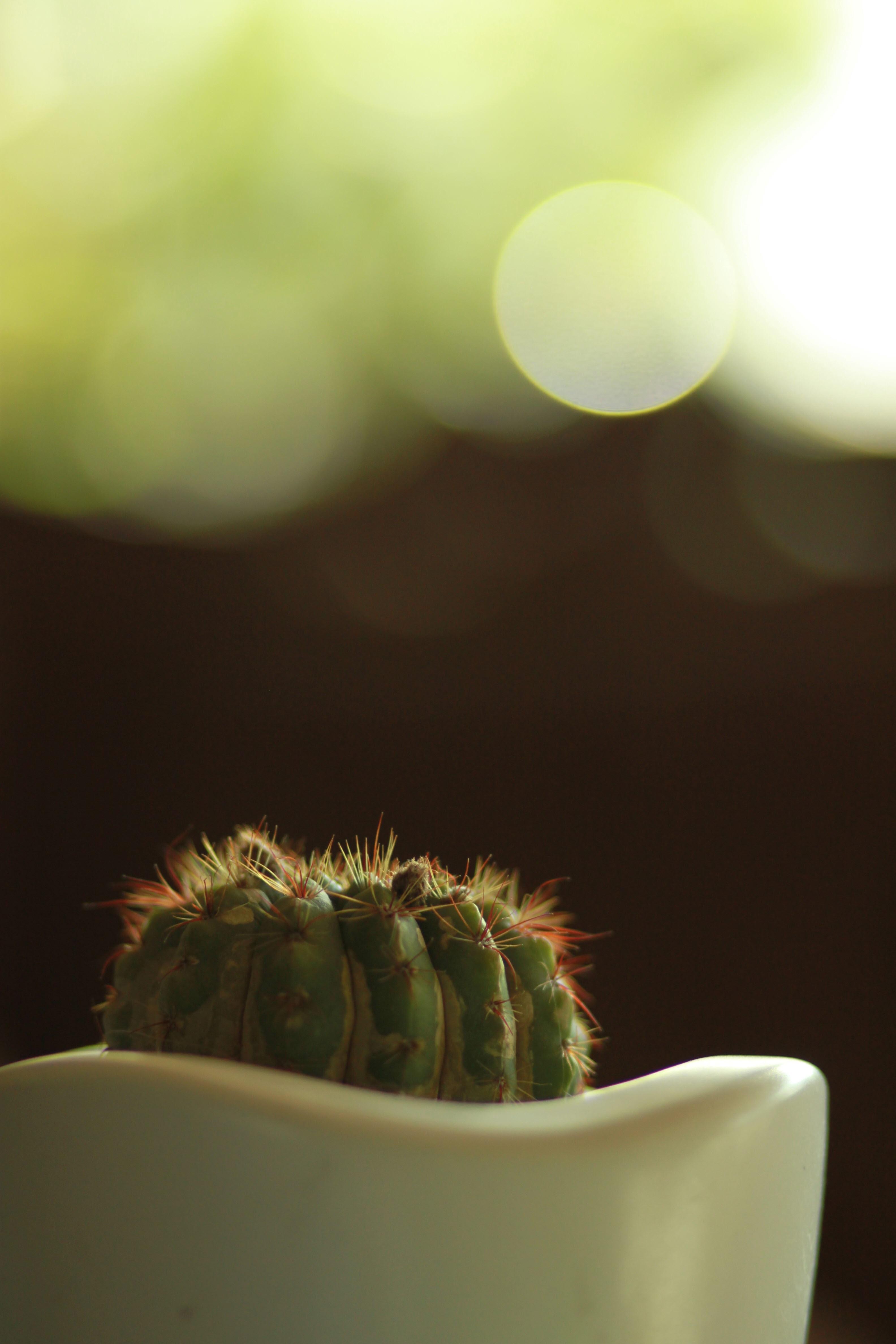 121888 descargar fondo de pantalla Flores, Cactus, Cacto, Mordaz, Espinoso, De Cerca, Primer Plano, Maceta, Olla, Bokeh, Boquet: protectores de pantalla e imágenes gratis