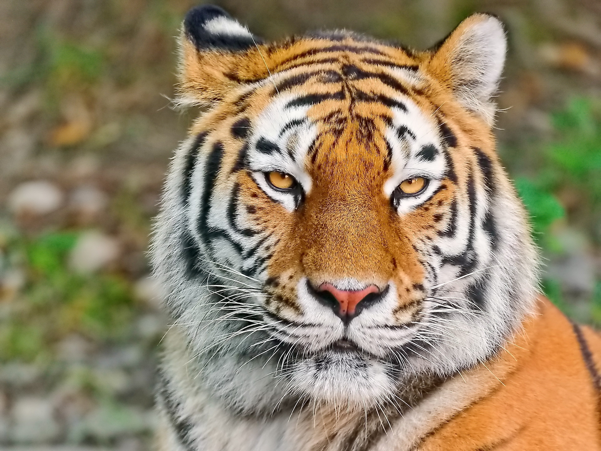 114306 download wallpaper Animals, Tiger, Muzzle, Sight, Opinion, Aggression, Predator screensavers and pictures for free
