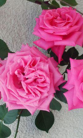 144020 baixar papel de parede Flores, Arbusto, Delicado, Gentil, Muro, Parede, Rosas - protetores de tela e imagens gratuitamente