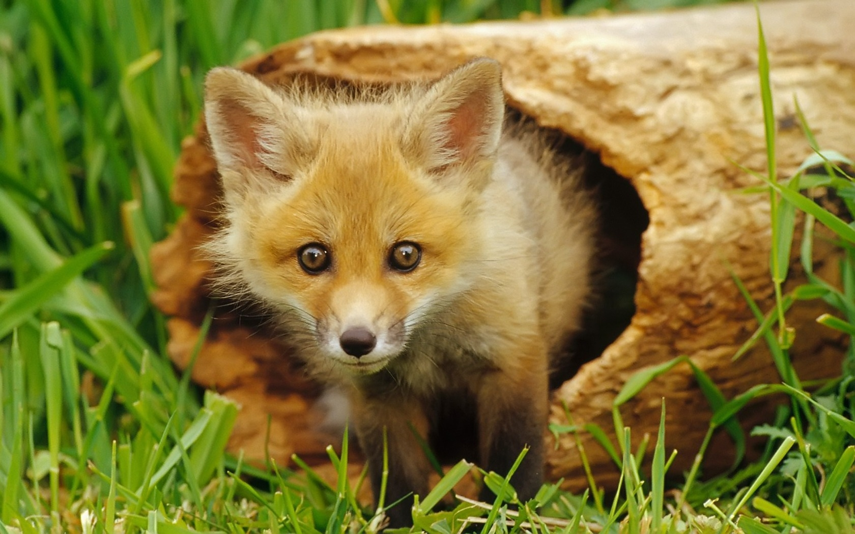 35970 download wallpaper Animals, Fox screensavers and pictures for free