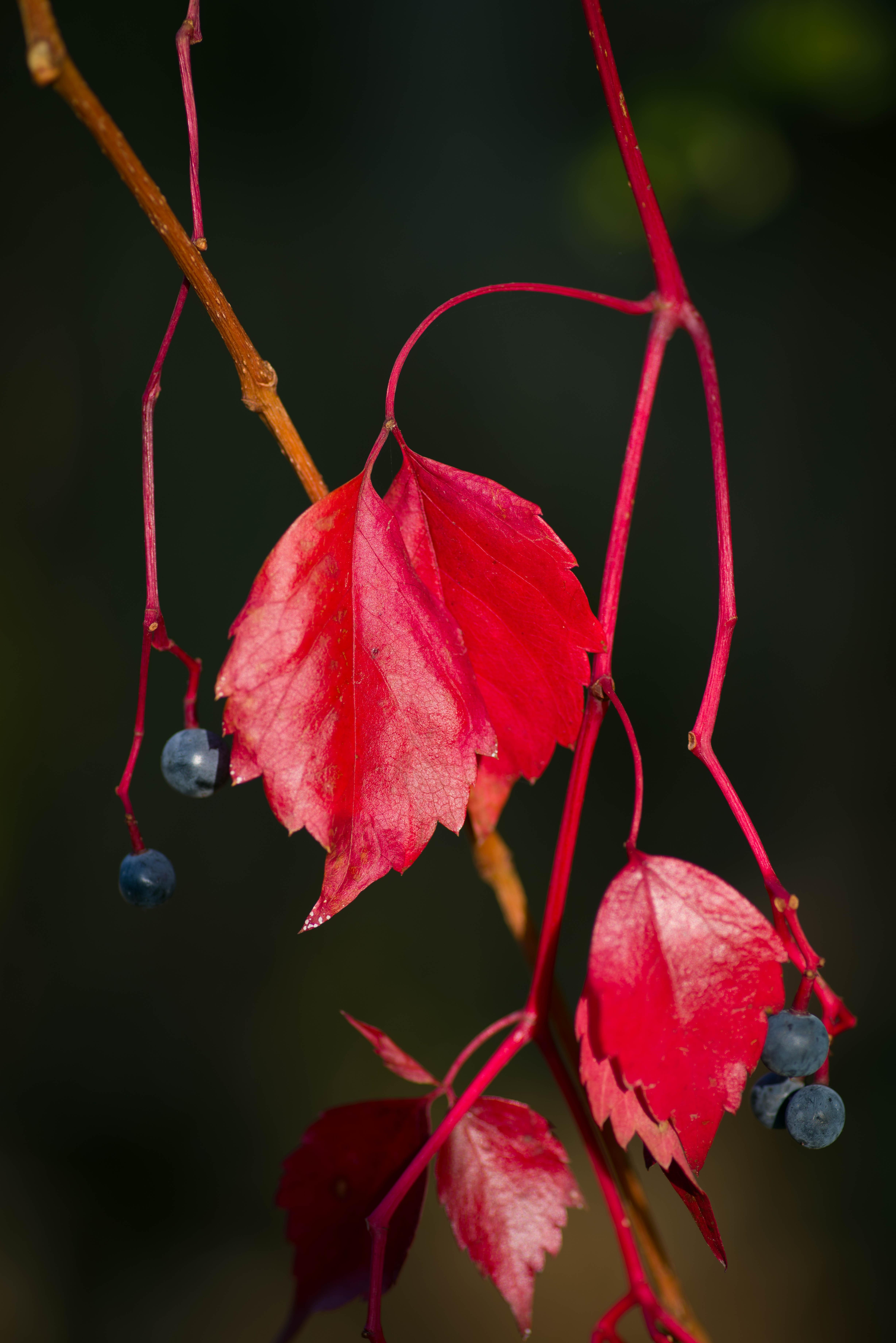 114815 скачать обои Макро, Дикий Виноград, Листья, Растение, Красный, Ягоды - заставки и картинки бесплатно