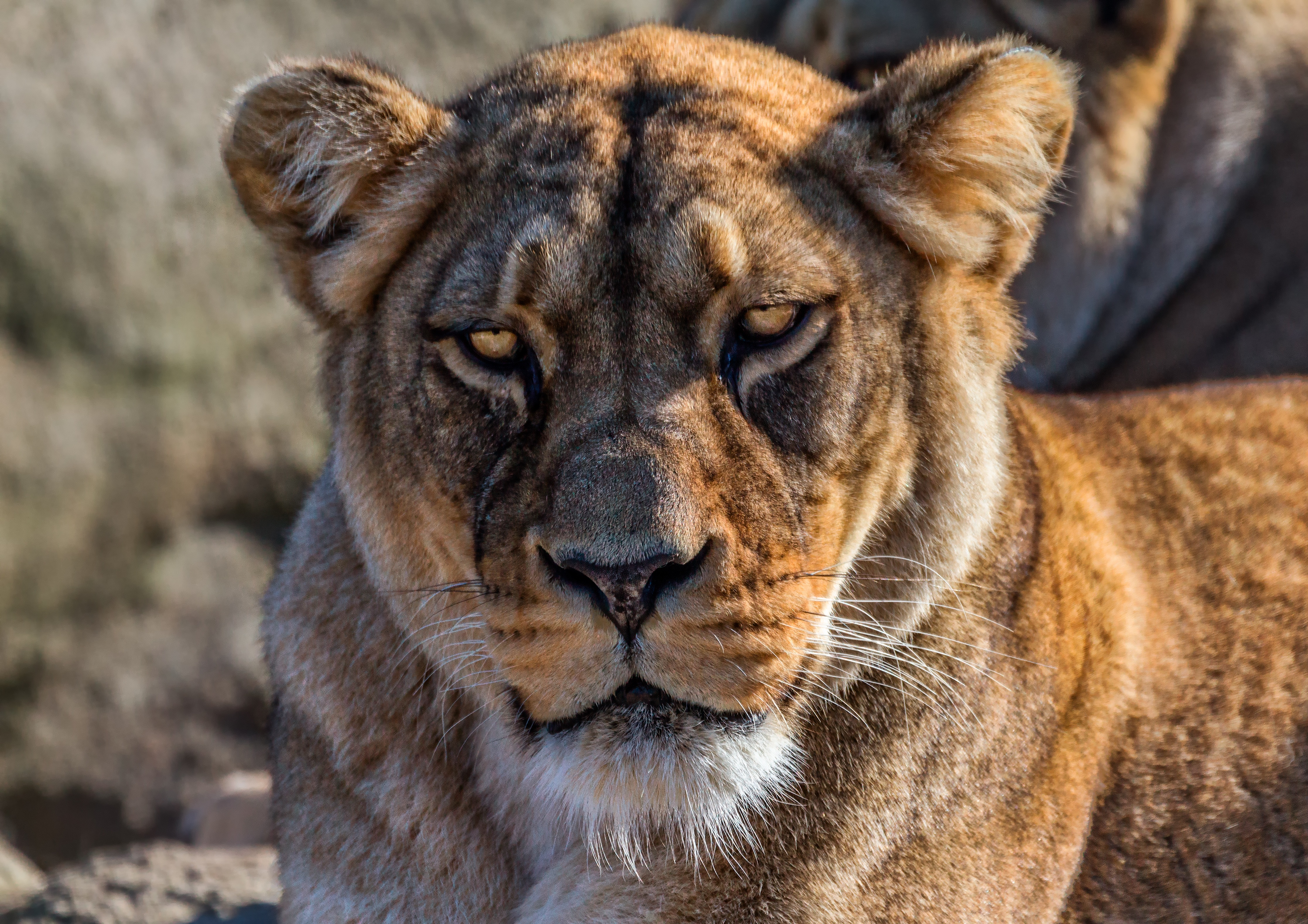 91545 download wallpaper Animals, Lion, Lioness, Sight, Opinion, Calmness, Tranquillity, Predator screensavers and pictures for free