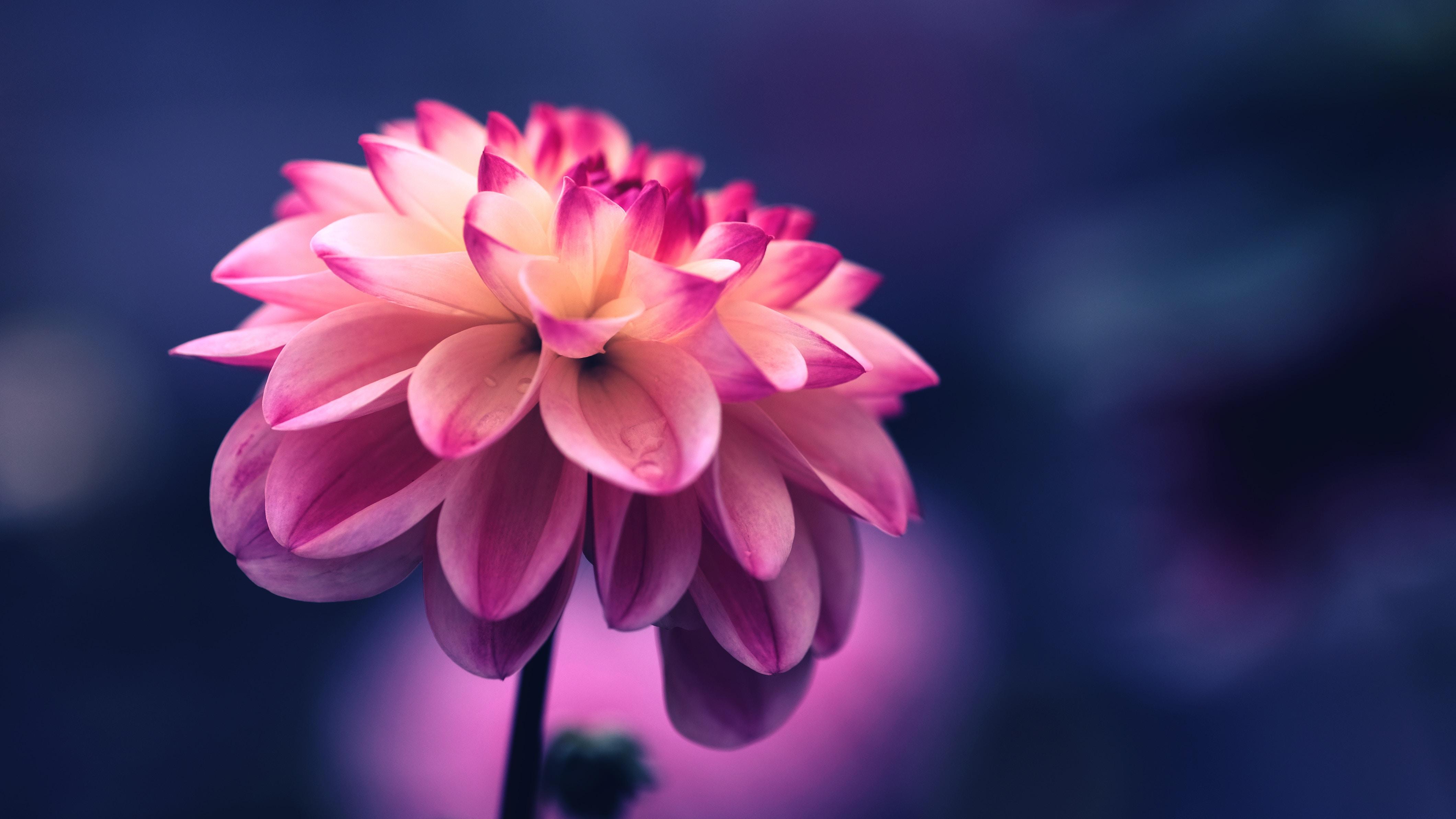 107849 Hintergrundbild herunterladen Blumen, Rosa, Blume, Blütenblätter, Knospe, Bud, Nahaufnahme - Bildschirmschoner und Bilder kostenlos