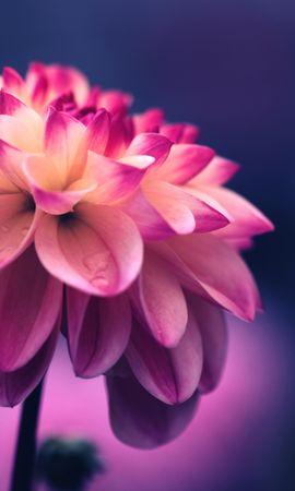 107849 скачать обои Цветы, Цветок, Розовый, Лепестки, Бутон, Крупным Планом - заставки и картинки бесплатно