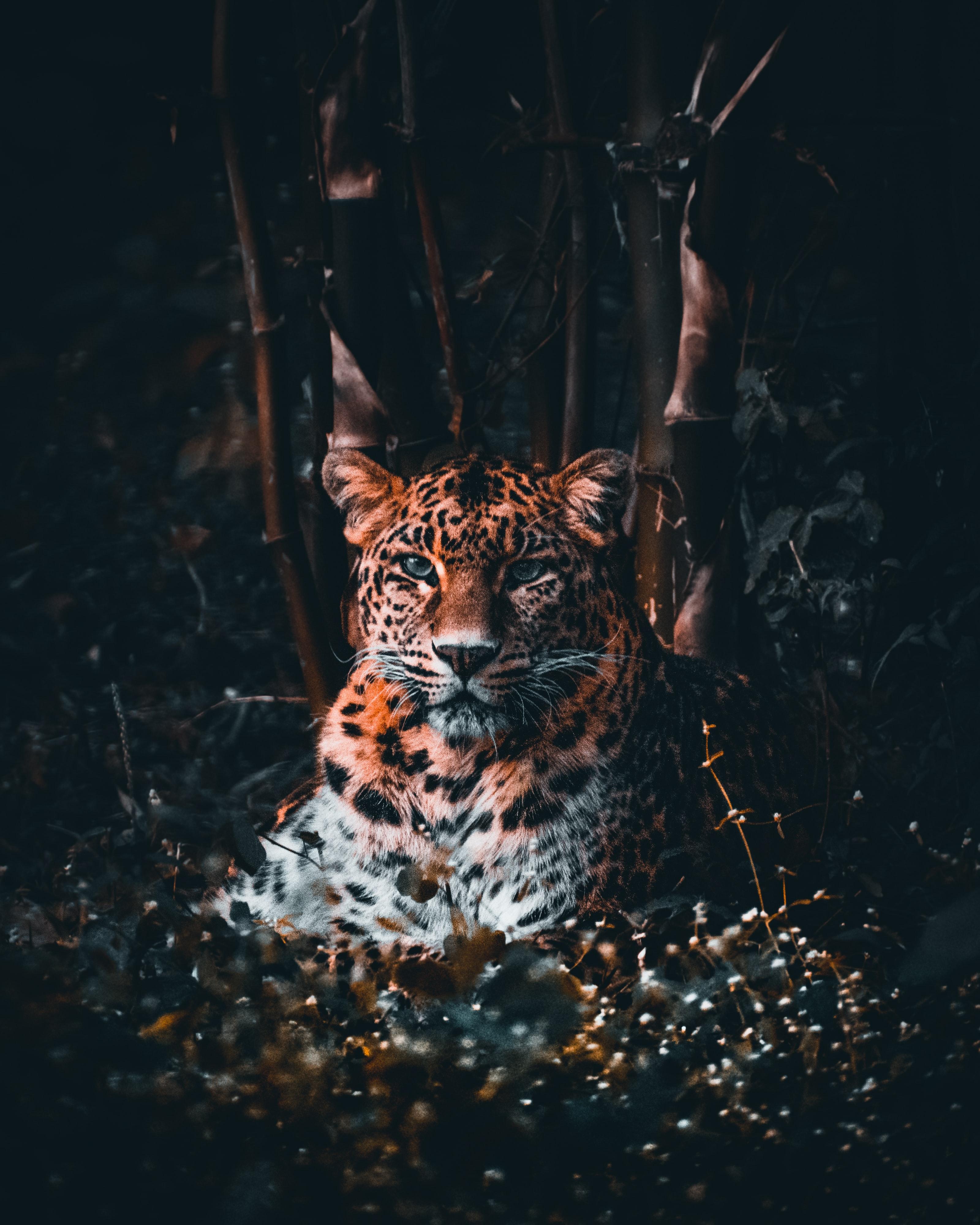 55596 Hintergrundbild herunterladen Tiere, Grass, Leopard, Raubtier, Predator, Große Katze, Big Cat, Sicht, Meinung - Bildschirmschoner und Bilder kostenlos