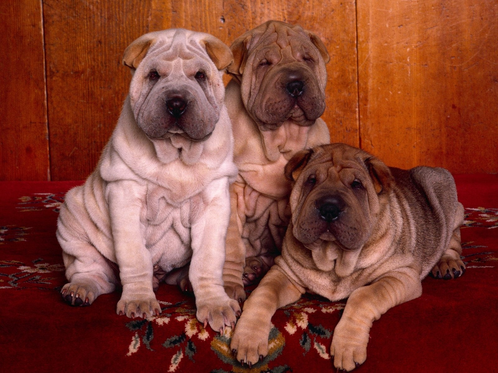 4781 download wallpaper Animals, Dogs screensavers and pictures for free