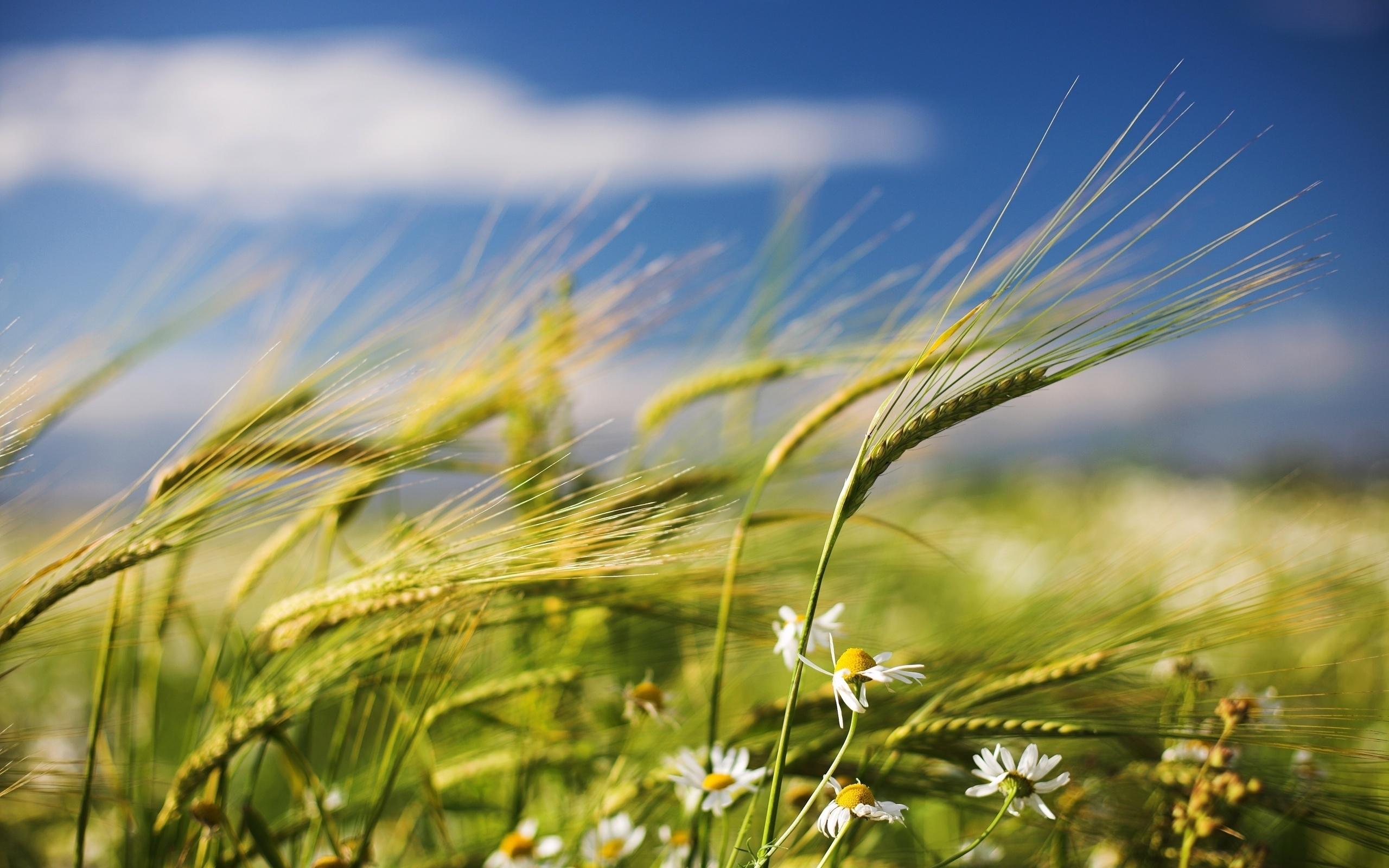 50236 скачать обои Растения, Пшеница - заставки и картинки бесплатно
