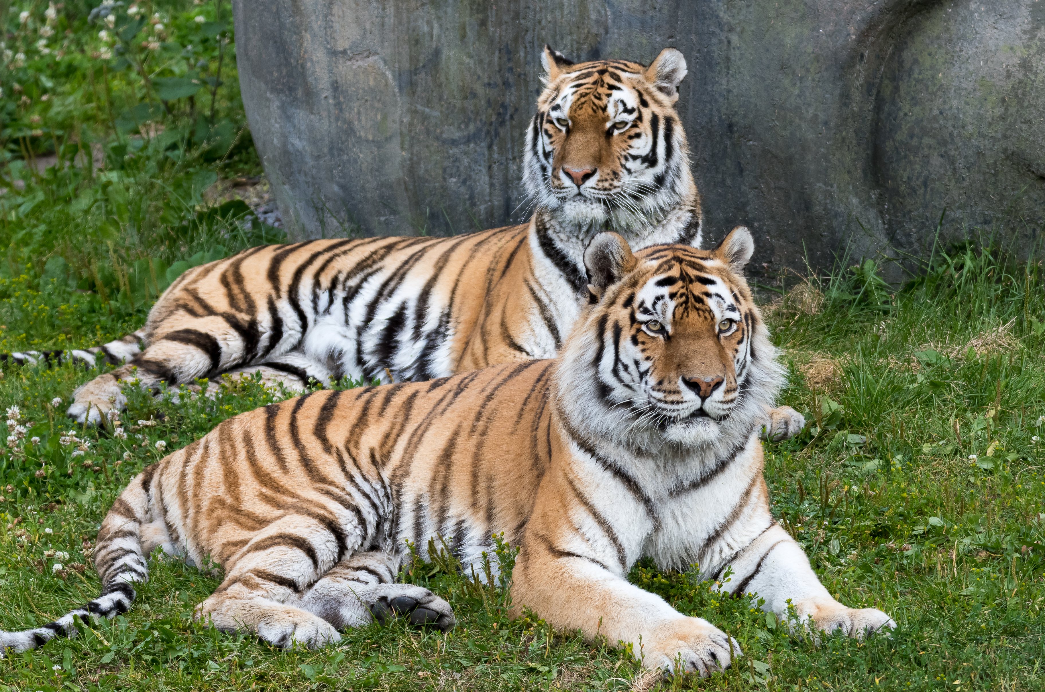 98397 download wallpaper Animals, Tiger, Big Cat, Predator, Tigers screensavers and pictures for free