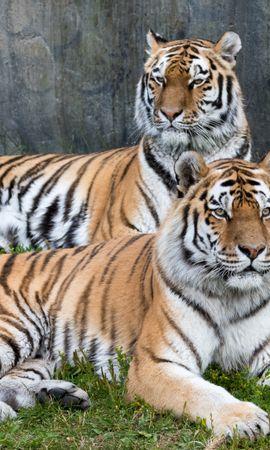 98397壁紙のダウンロード動物, 虎, 大きな猫, ビッグキャット, プレデター, 捕食者, 阪神タイガース-スクリーンセーバーと写真を無料で