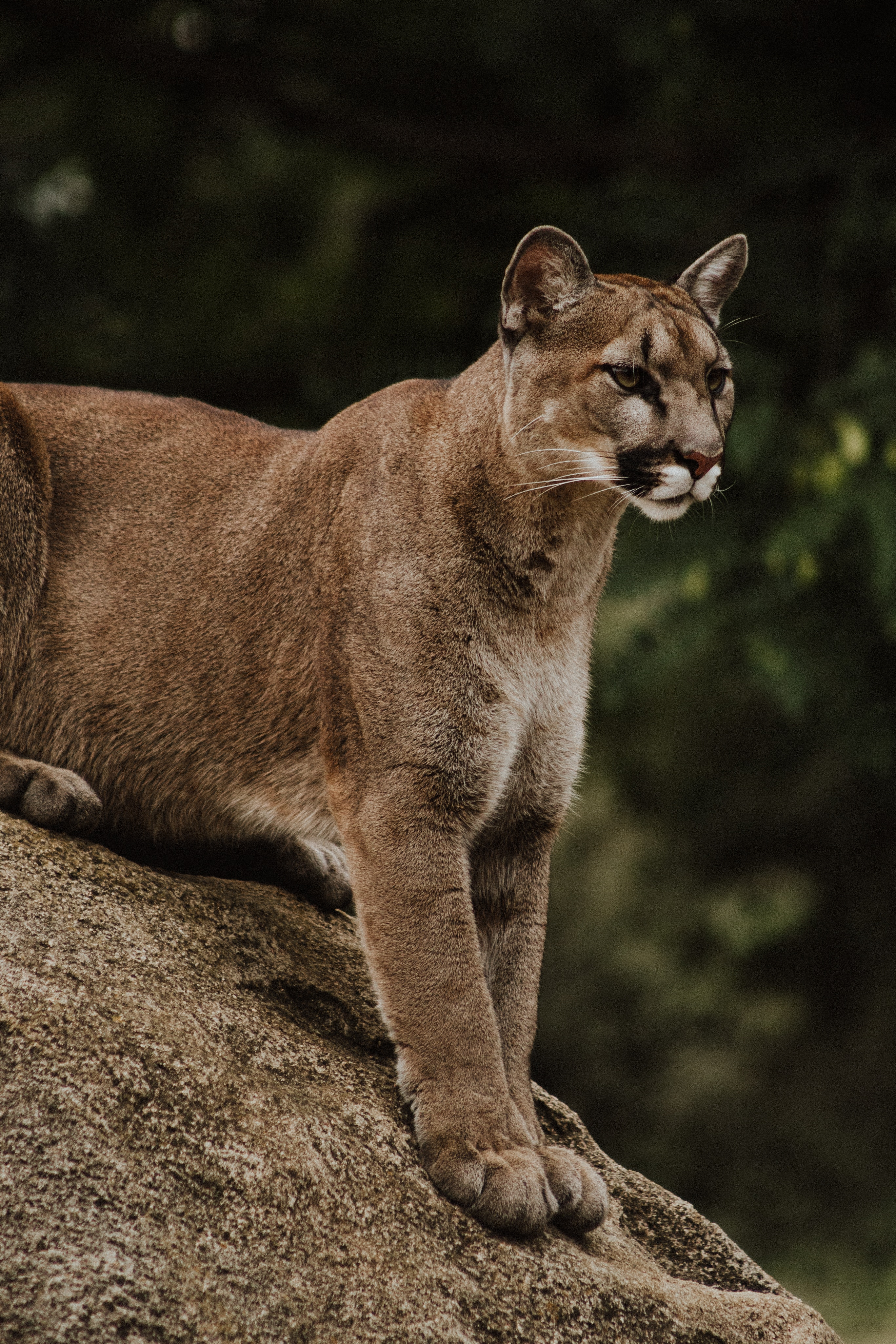 131236 скачать обои Животные, Пумы, Хищник, Большая Кошка, Дикая Природа - заставки и картинки бесплатно
