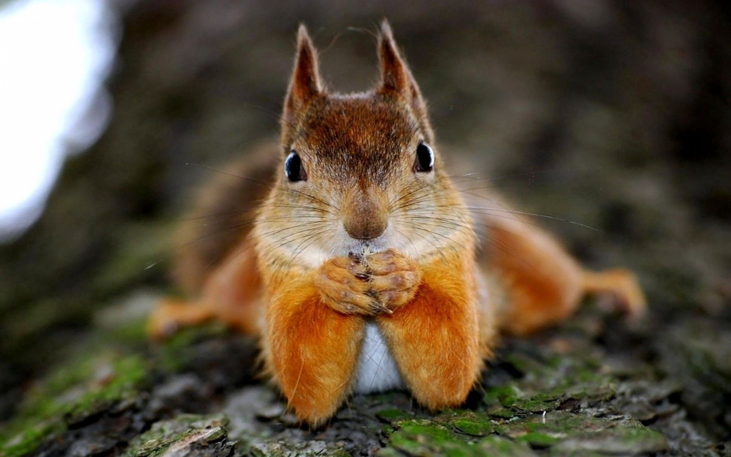 113601 download wallpaper Squirrel, Animals, Sight, Opinion, Animal screensavers and pictures for free