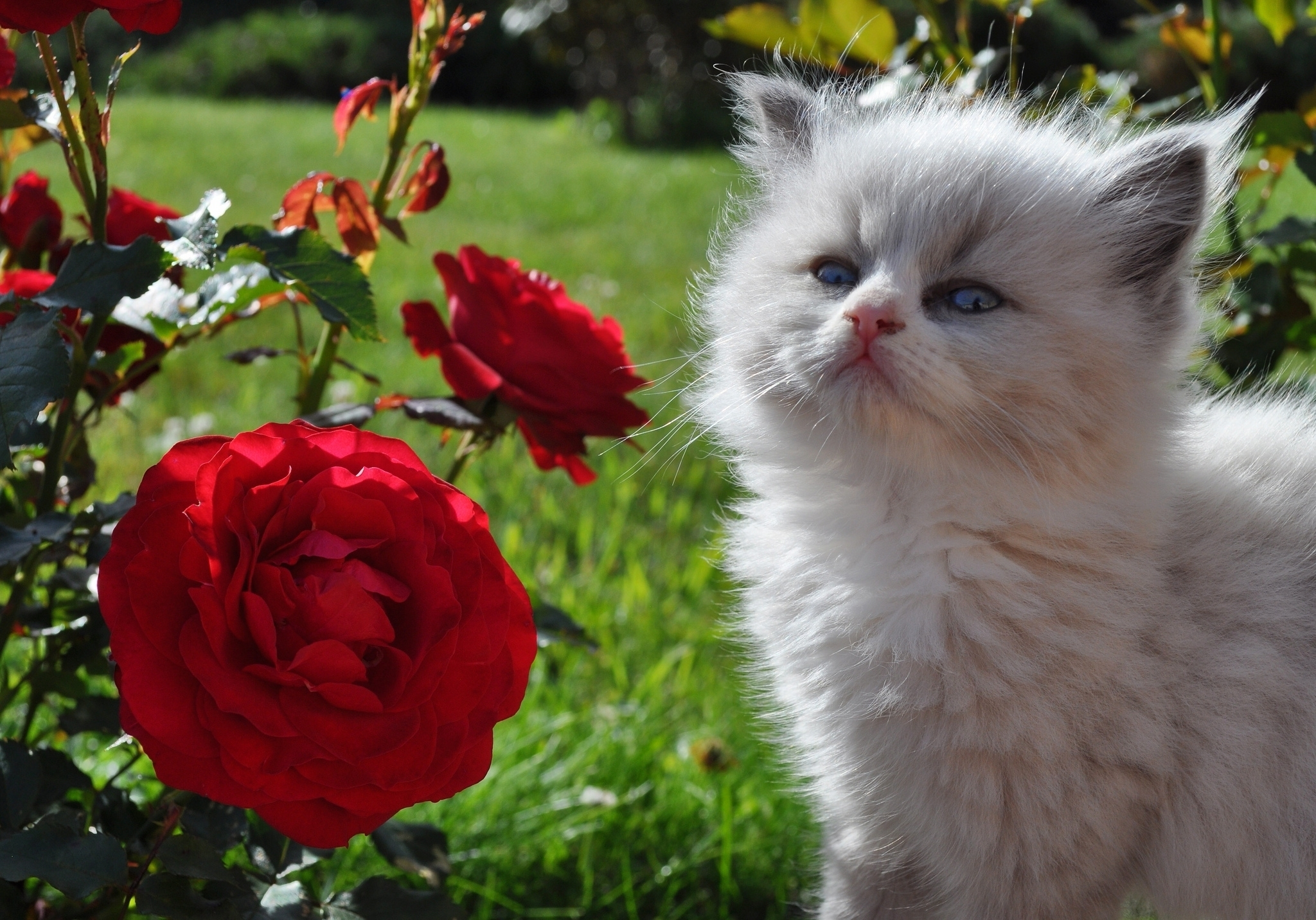 104954 download wallpaper Animals, Grass, Fluffy, Rose Flower, Rose, Kitty, Kitten, Muzzle, Sight, Opinion screensavers and pictures for free