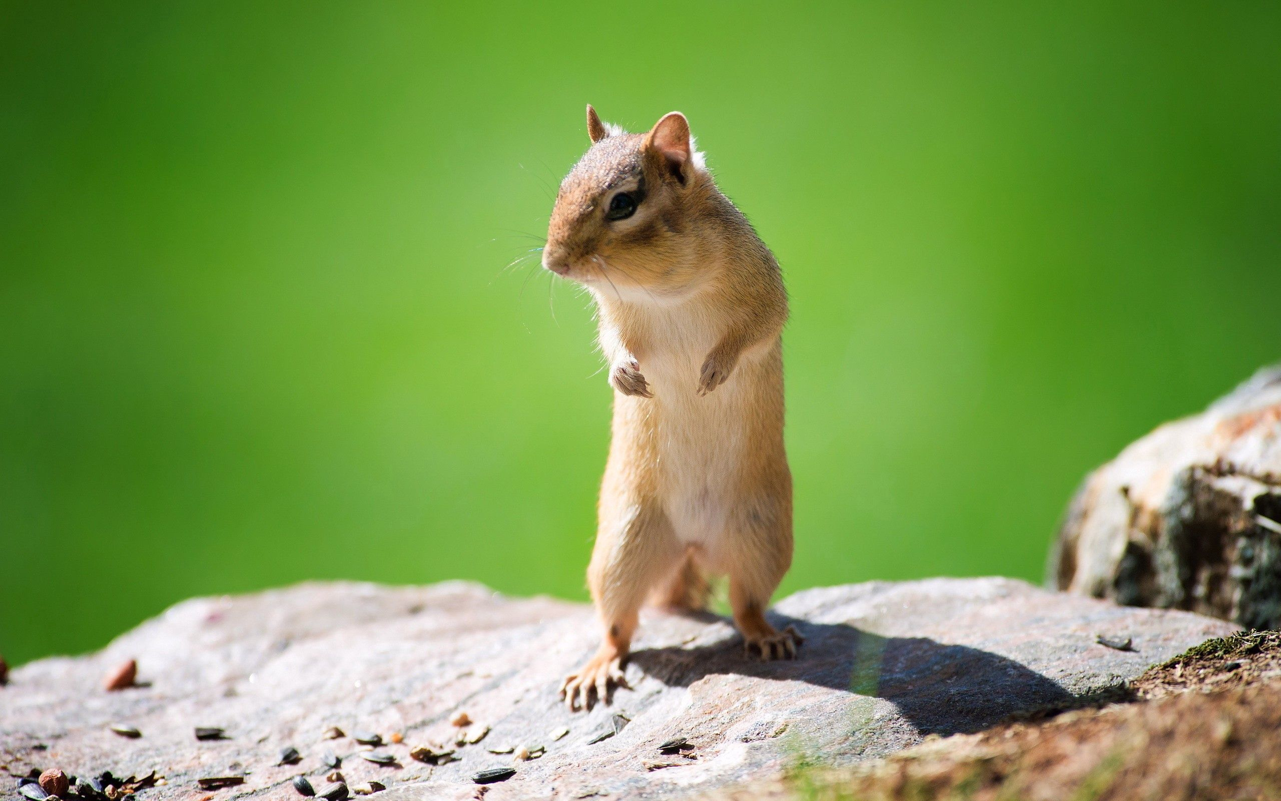 140954 download wallpaper Animals, Chipmunk, Muzzle, Animal, Stroll screensavers and pictures for free