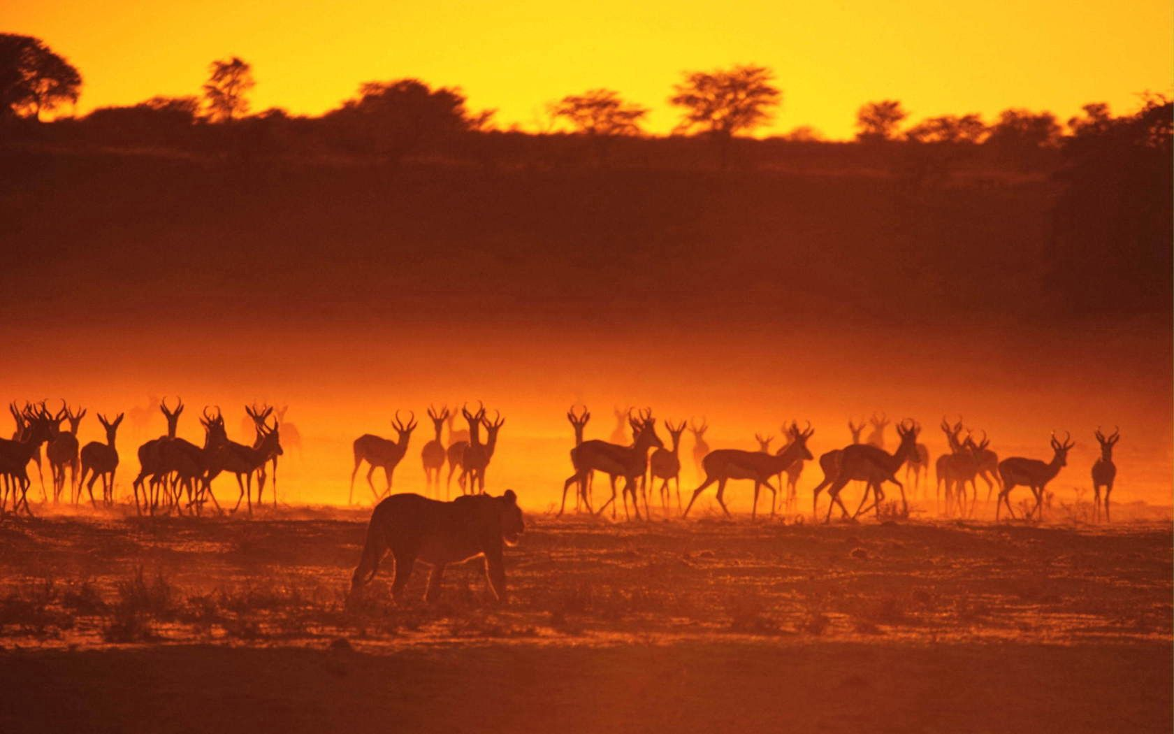 139733 download wallpaper Animals, Antelope, Lioness, Hunting, Hunt, Stroll, Sunset, Silhouettes screensavers and pictures for free